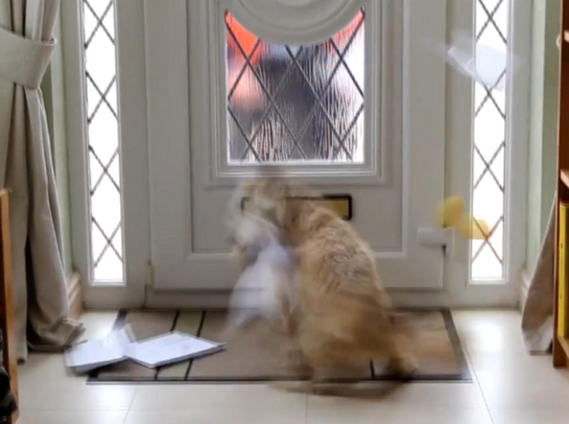Hund und Briefträger werden keine Freunde: Shih Tzu zerreist die Post