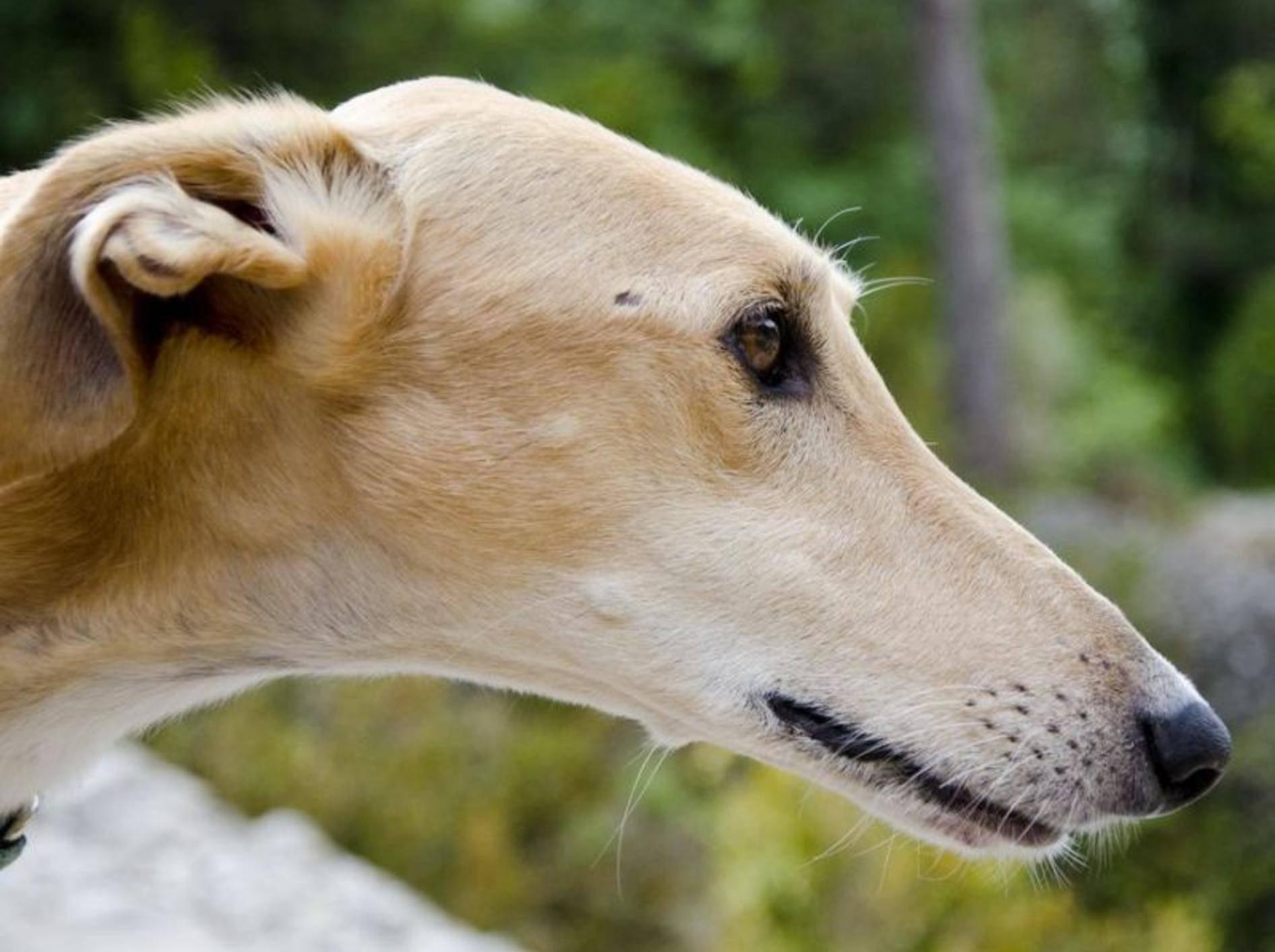 Spanischer Galgo Hund