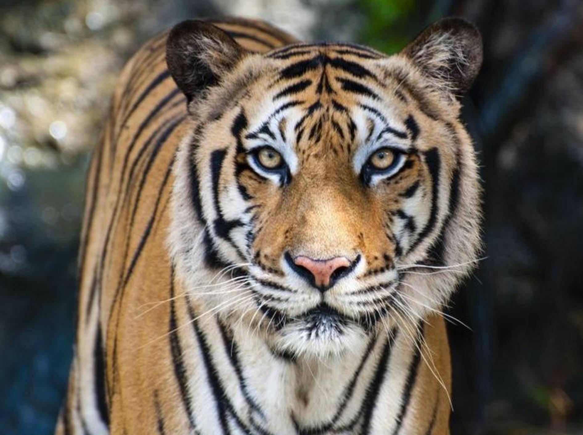 Bengal Tiger von Vorne