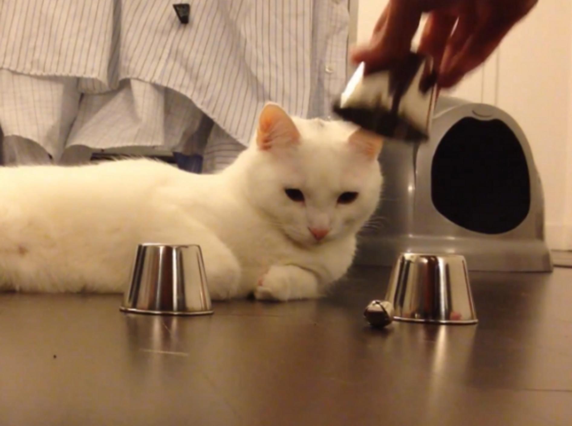 Weiße Katze ist Meister im Hütchenspiel