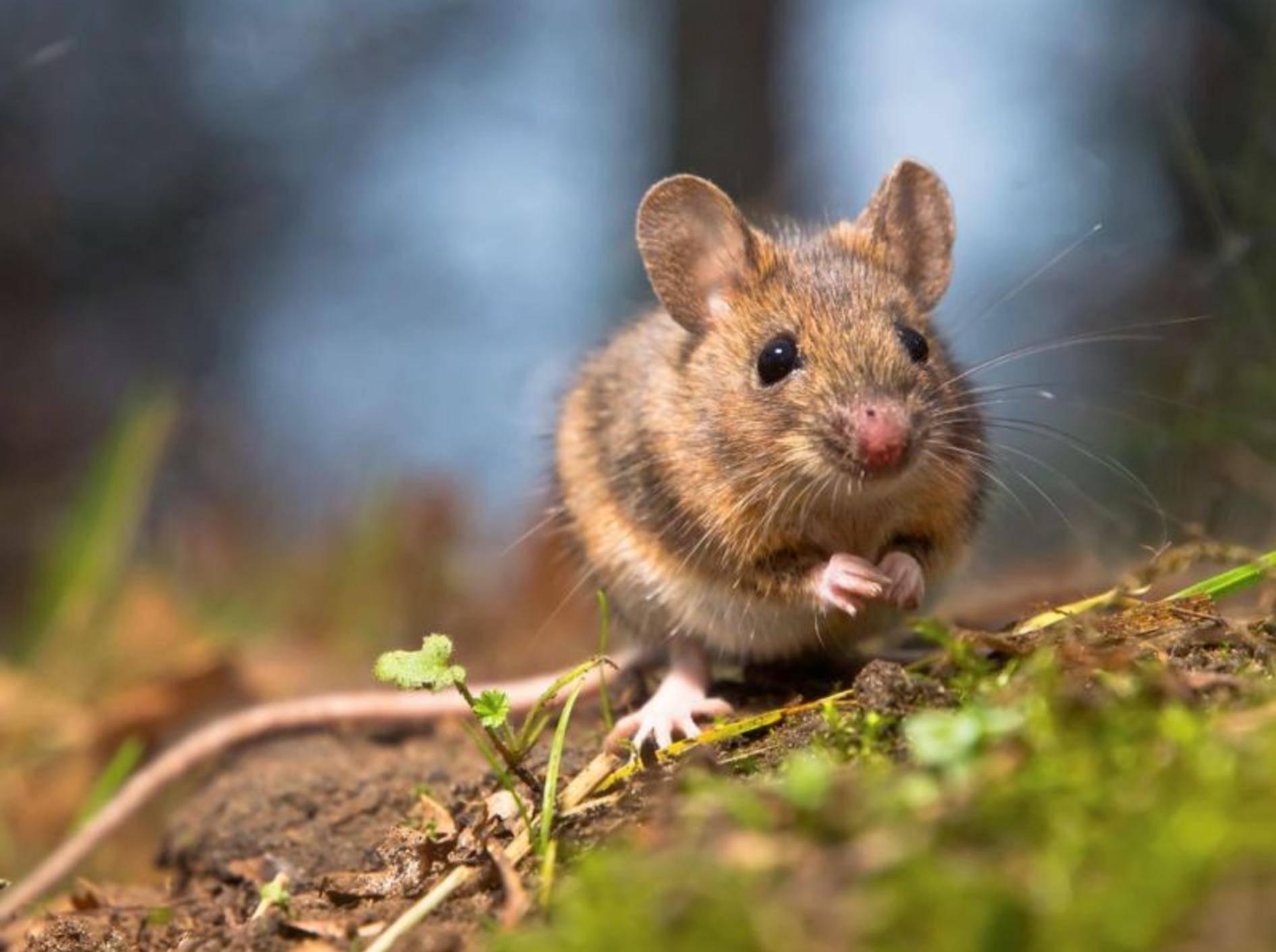 Wilde Maus auf dem Feld
