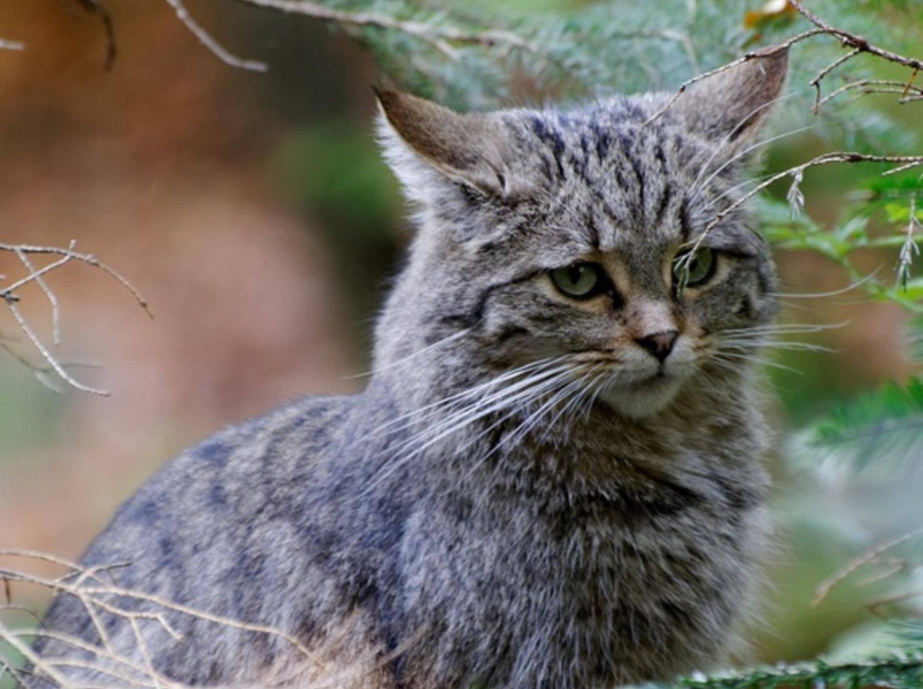 Europäische Wildkatzen finden Familienglück in deutschen Wäldern