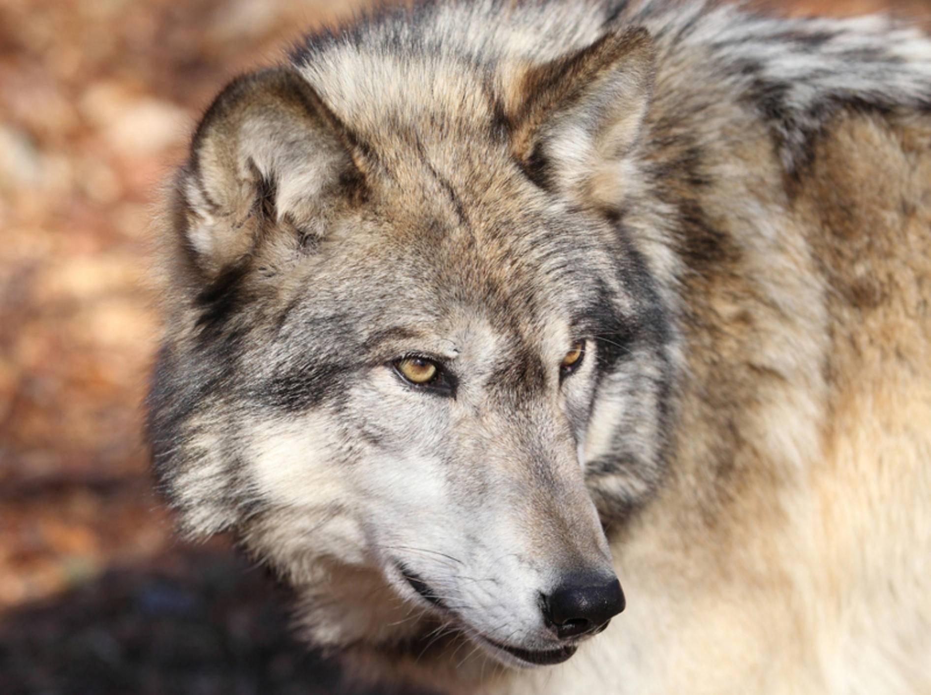 Aus den Vorfahren dieses Wolfs entwickelte sich der treue Haushund