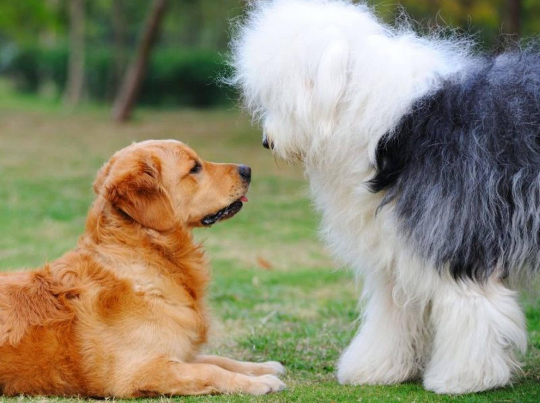 Zwei Hunde Wiese