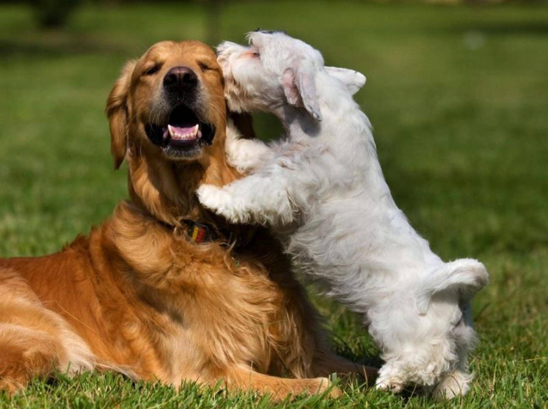 Zwei Hunde spielen auf der Wiese