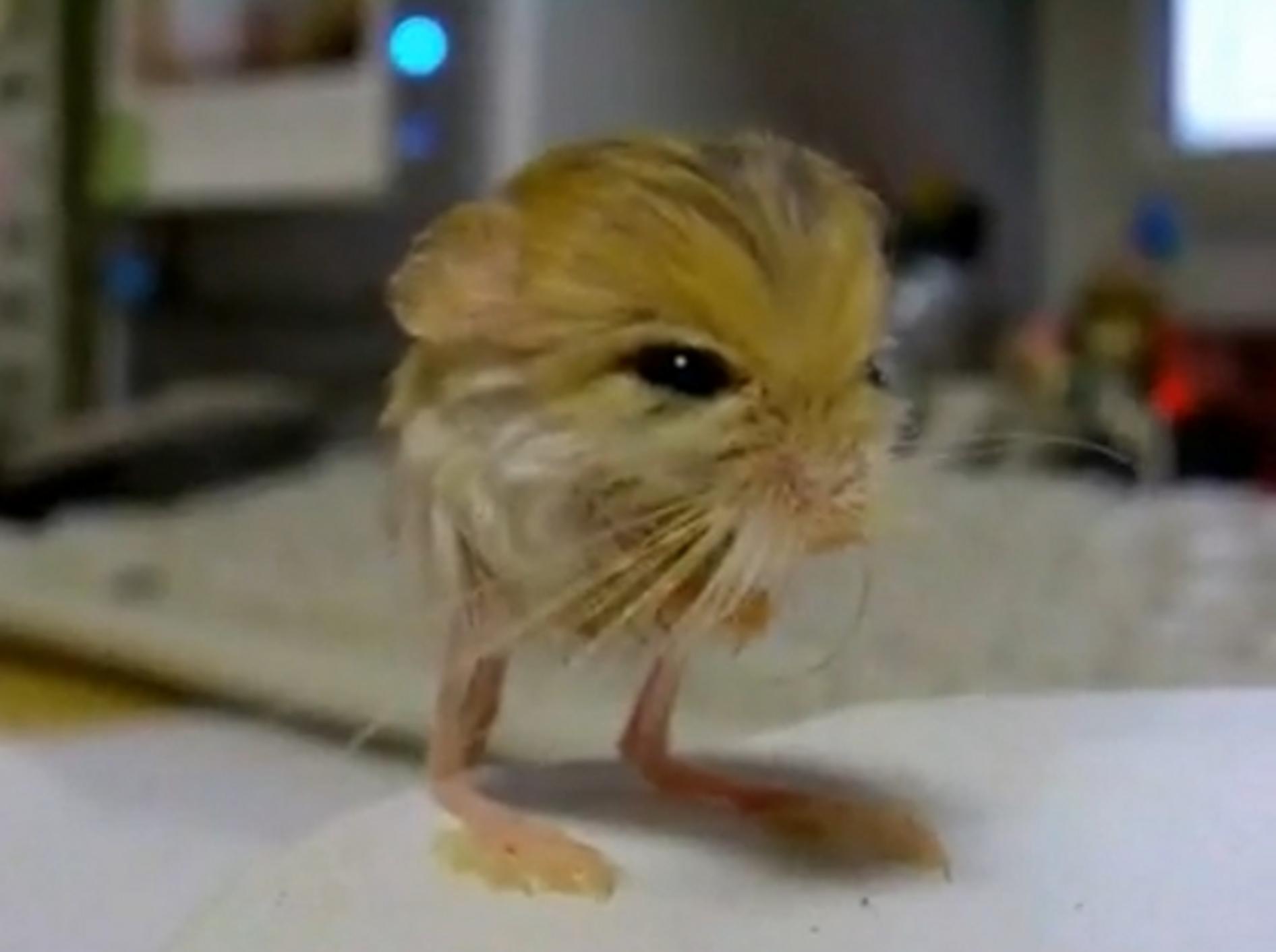 Zwergspringmaus: So süß können 3,2 Gramm sein