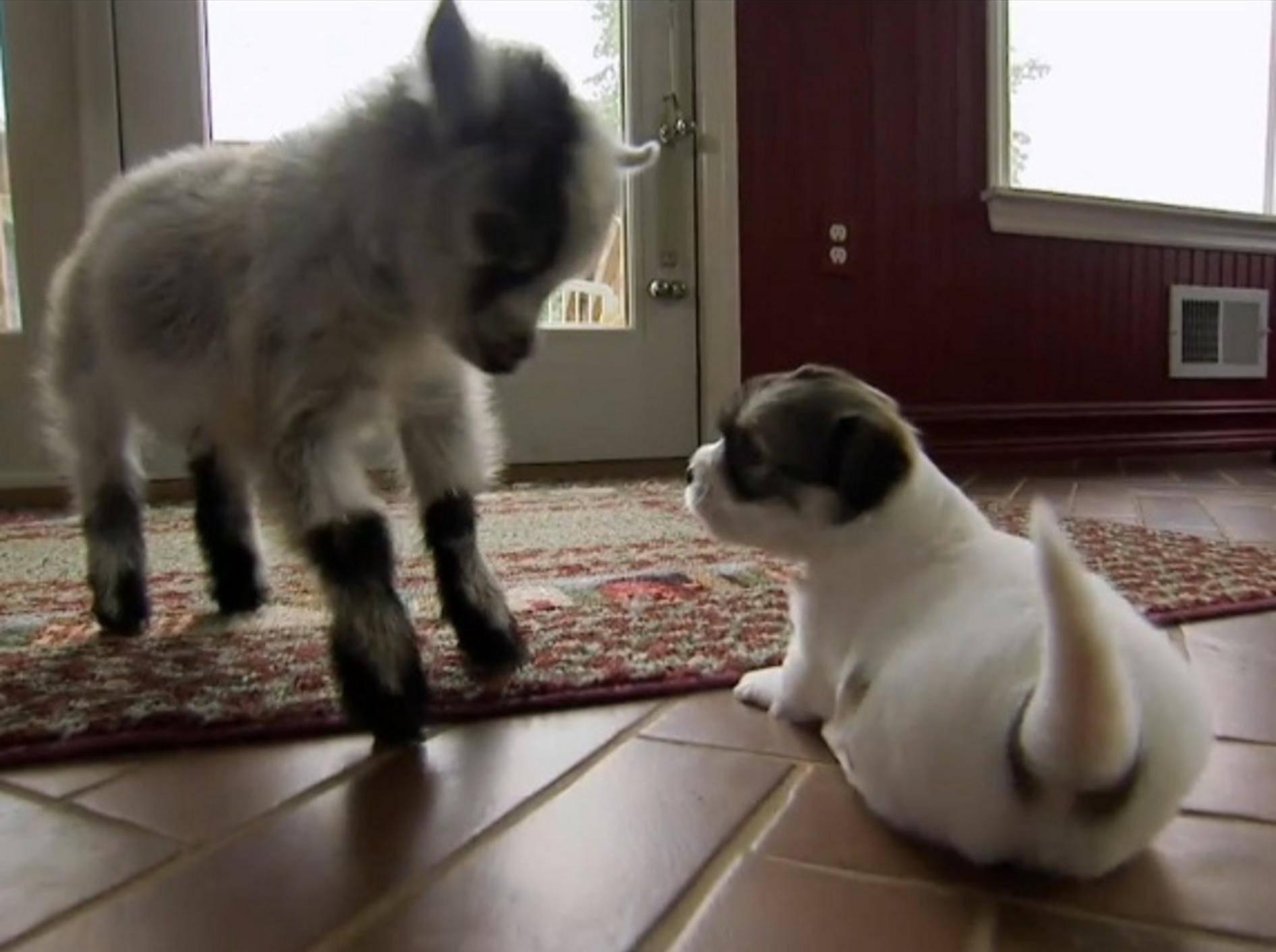 Zwergziege Pipsqueak begrüßt einen Welpen