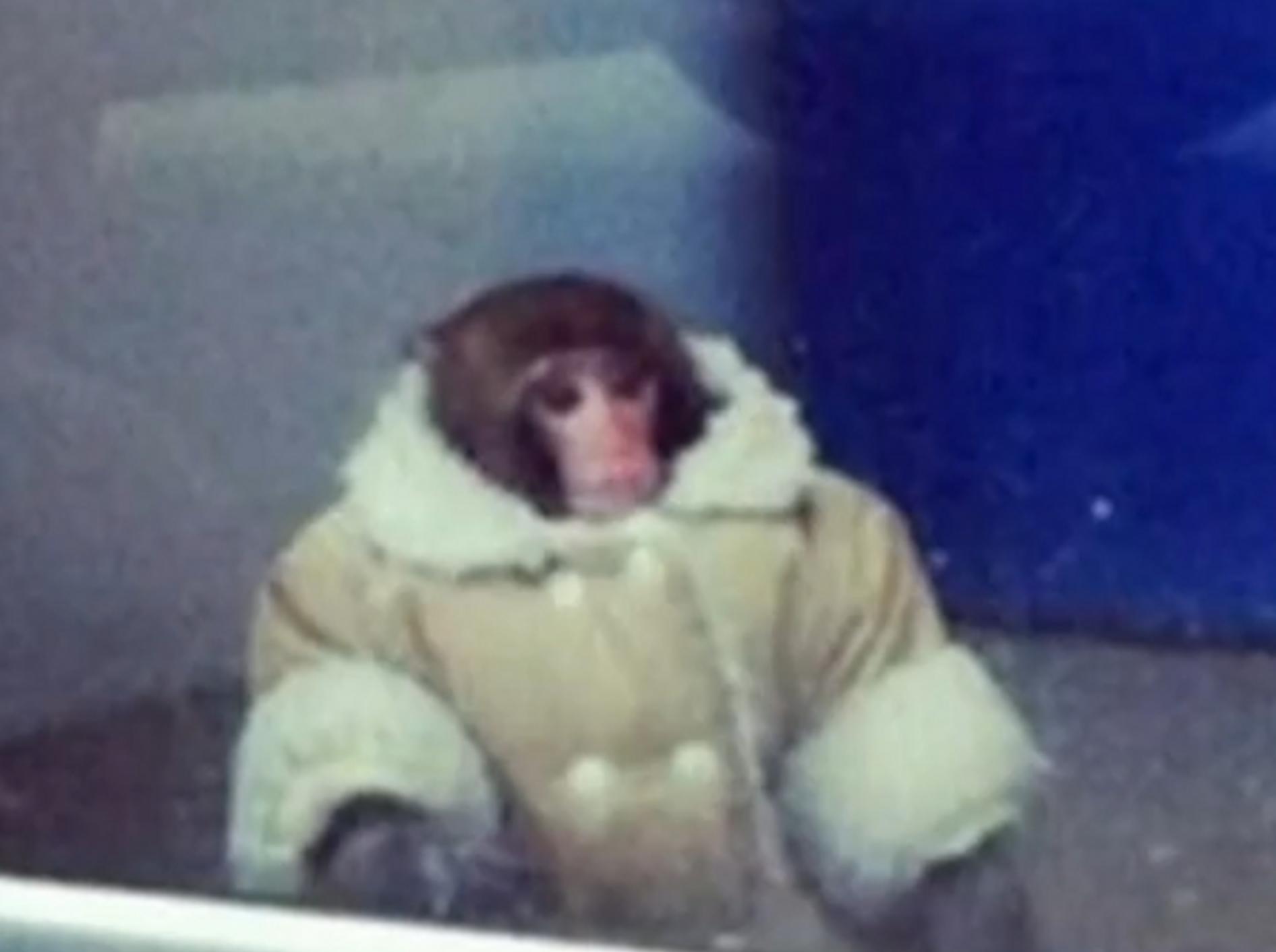 Rhesusäffchen wartet im Mantel bei Ikea auf sein Herrchen