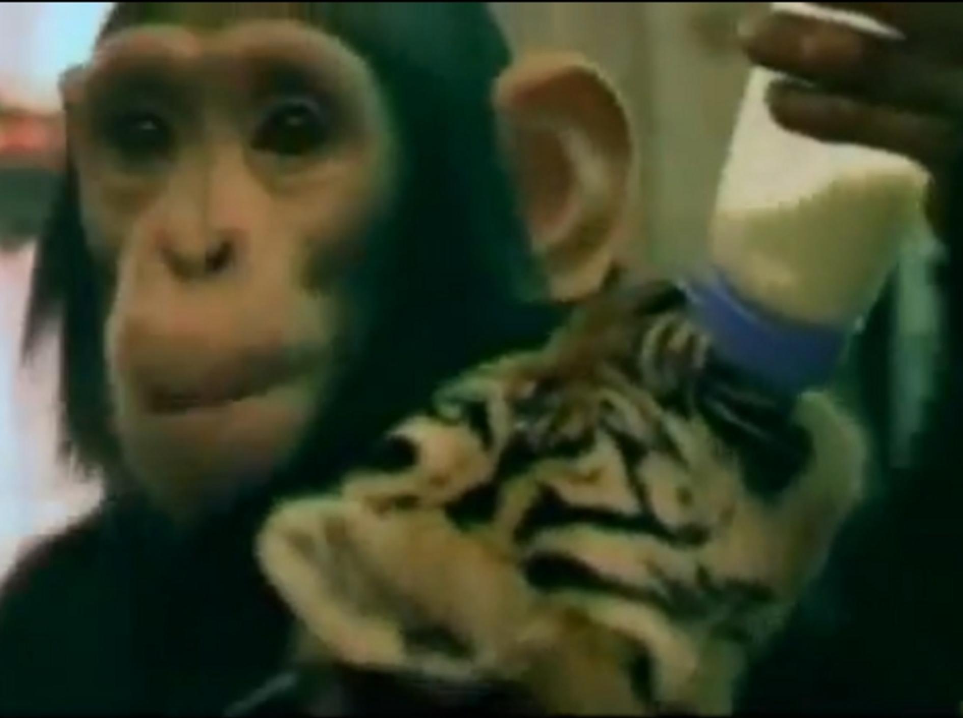 Affenfütterung: Schimpanse gibt dem Tigerbaby das Fläschchen