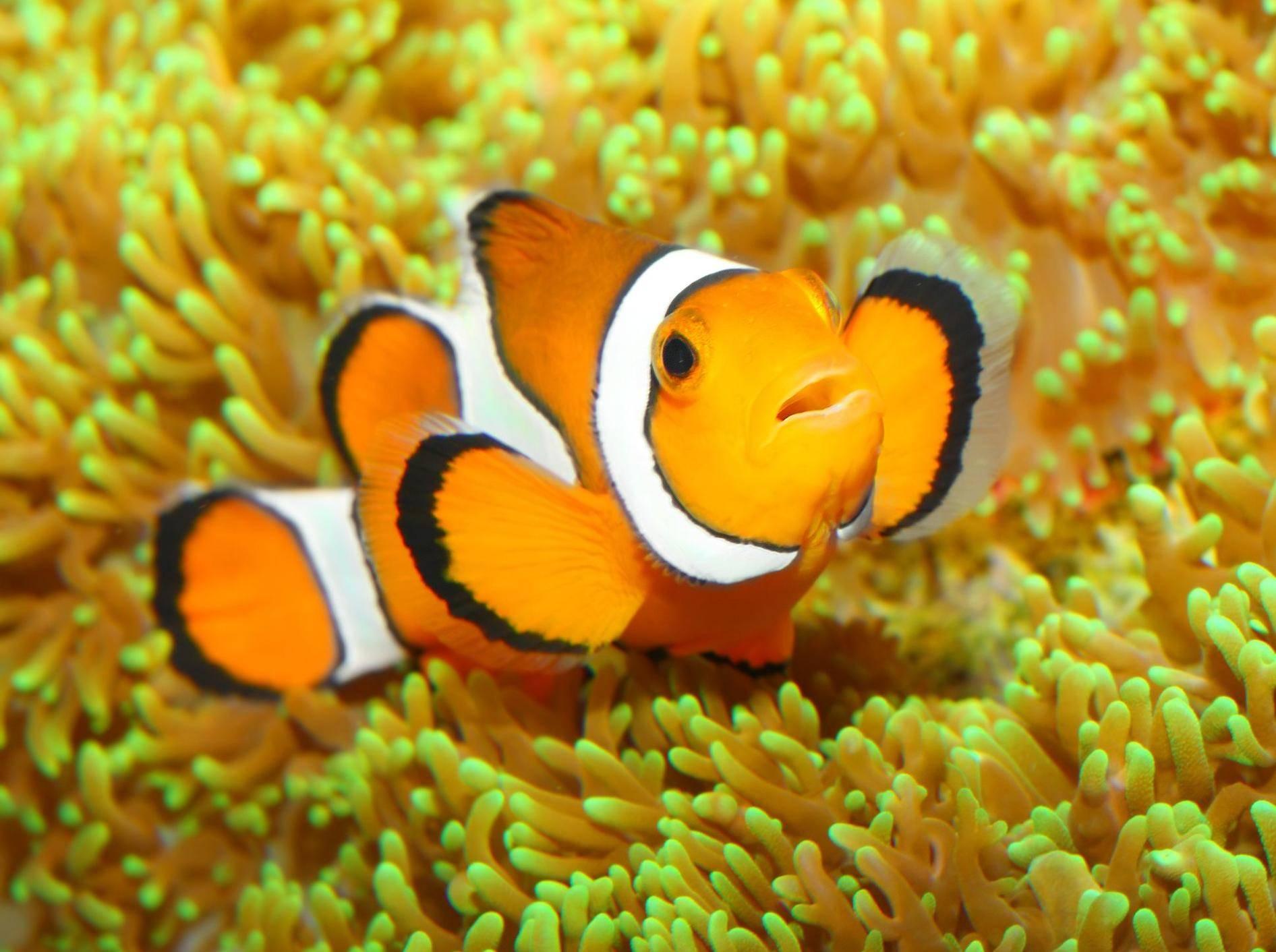 """Anemonenfisch oder """"Clownfisch"""": Bekannter aus """"Findet Nemo"""""""
