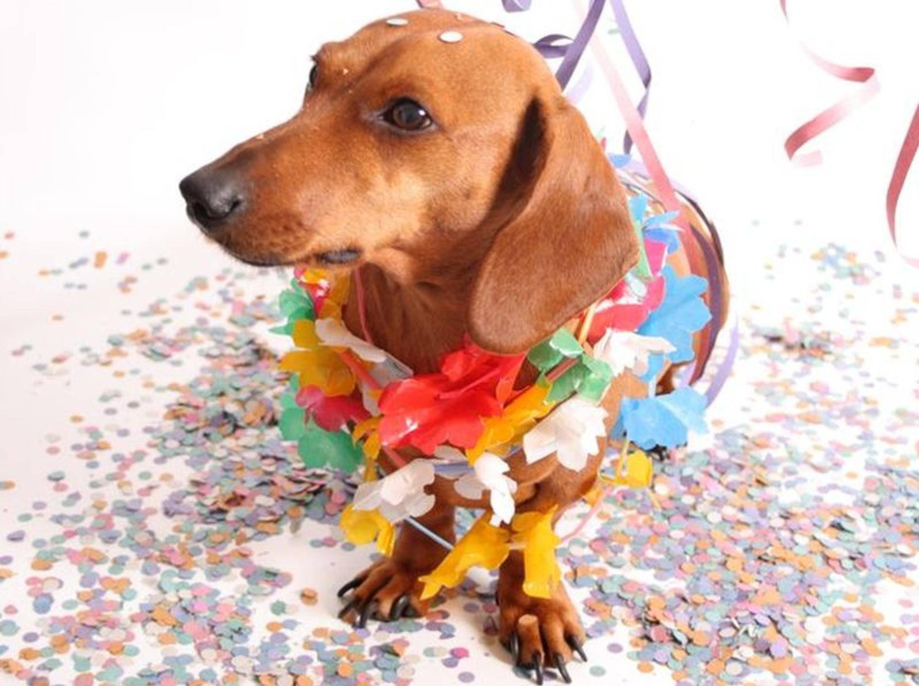 Ob dieser Dackel wohl Spaß beim Hunde-Karneval in Rio de Jeneiro hätte?