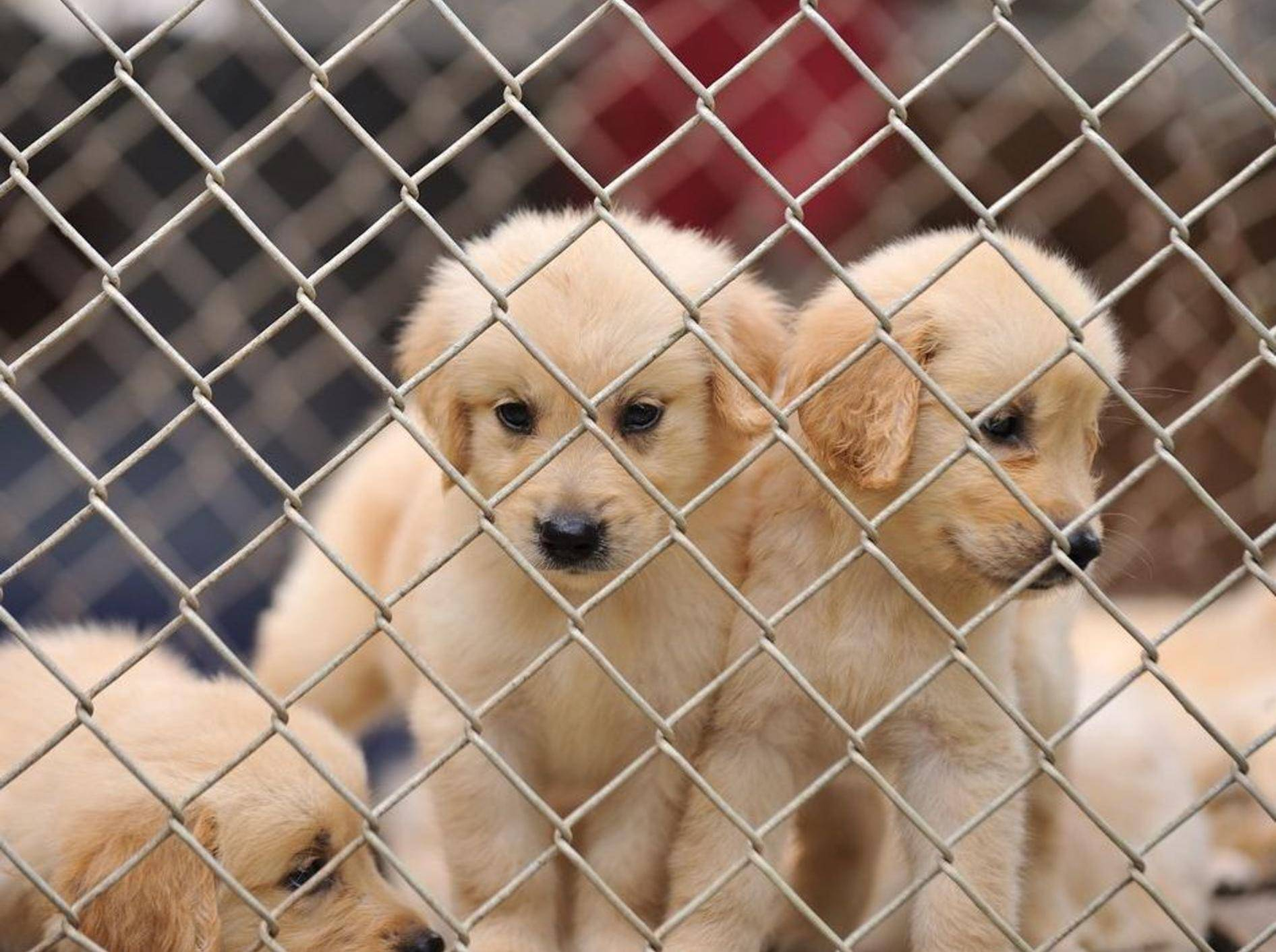 Der Handel mit Hundewelpen hat inzwischen mafiöse Strukturen angenommen