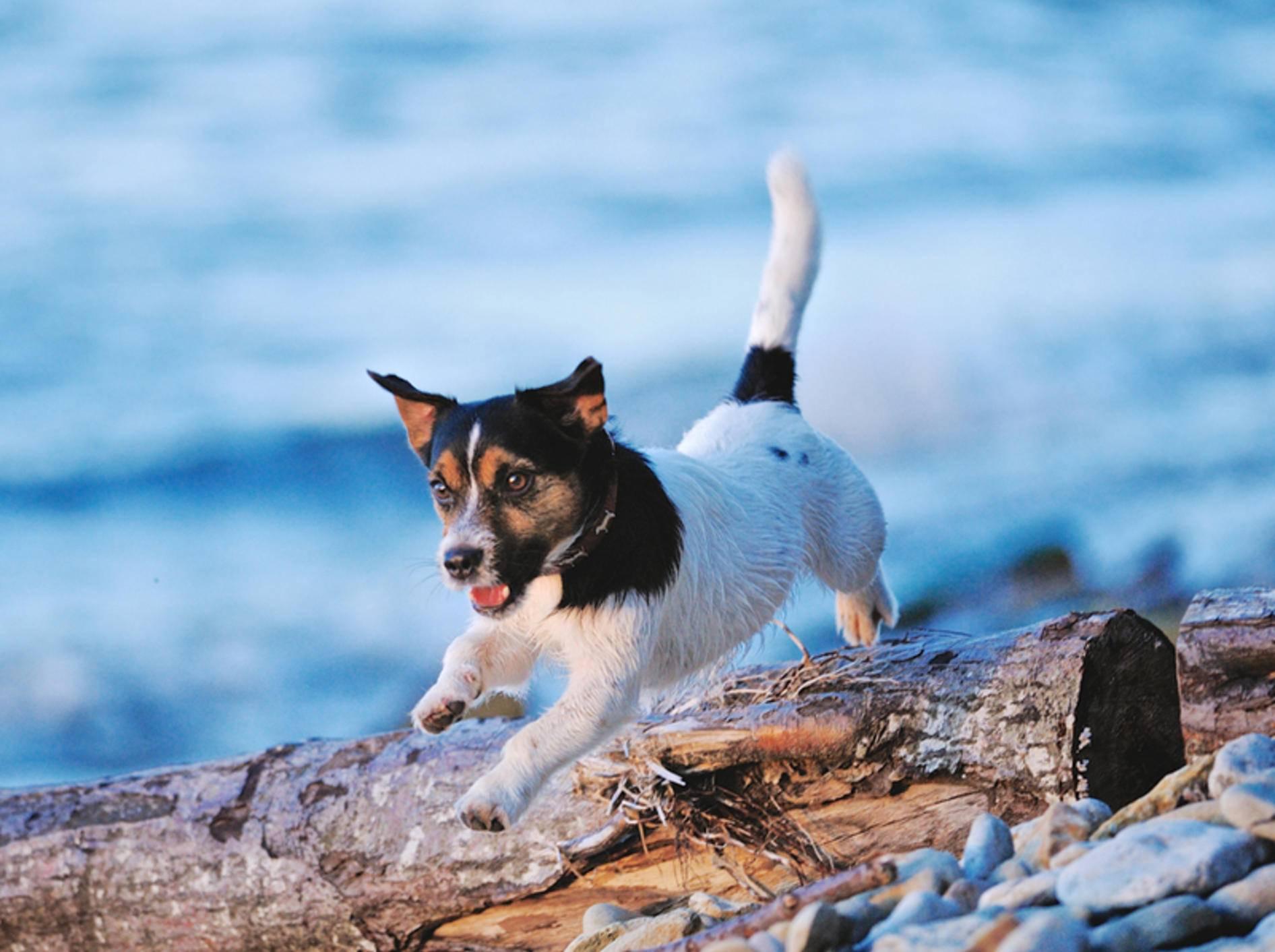 Jack Russell Terrier namens Kira: Der Name landete 2012 auf Platz 5