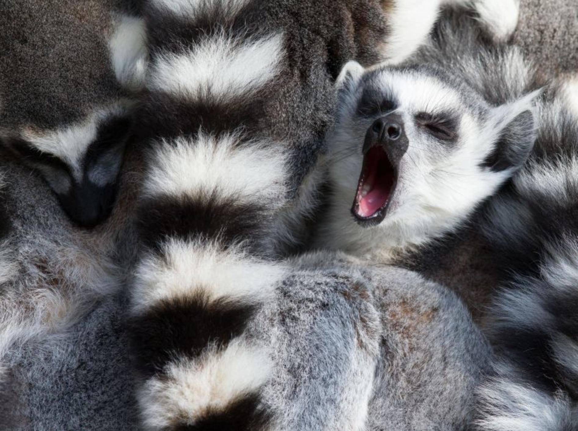 Der Katta fühlt sich mit seinen Streifen sichtlich wohl — Bild: Shutterstock / Roland IJdema