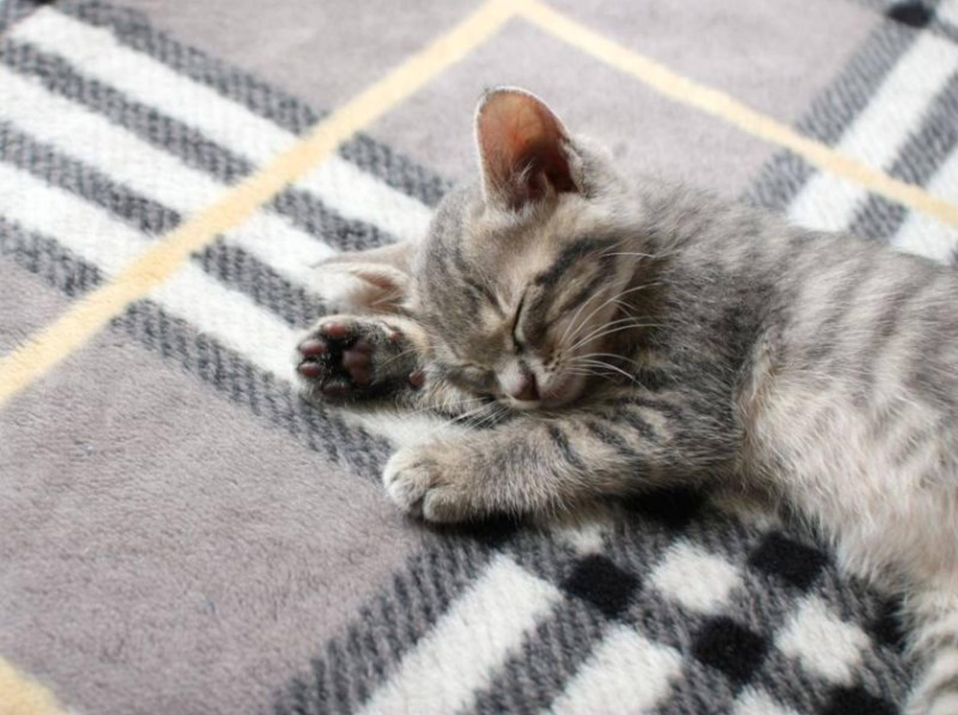 Auf der Kuscheldecke eingeschlafen: Babykatze