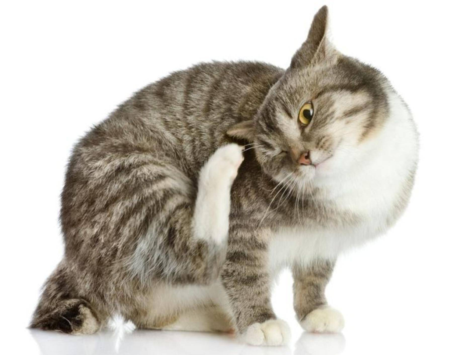 Katze kratzt sich am Ohr - Was ist die Ursache?