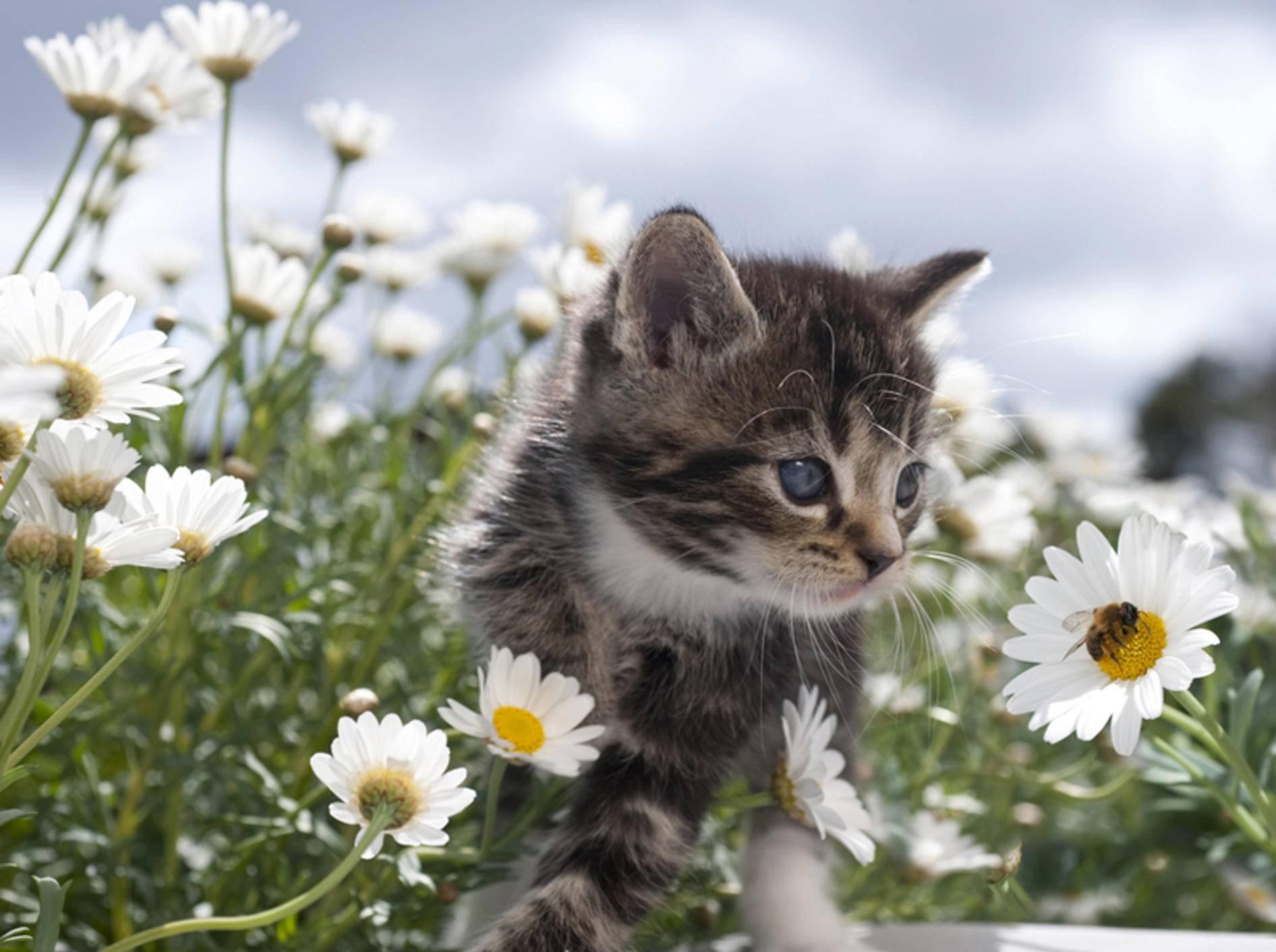 Kleines Kätzchen entdeckt eine Hummel auf der Blumenwiese