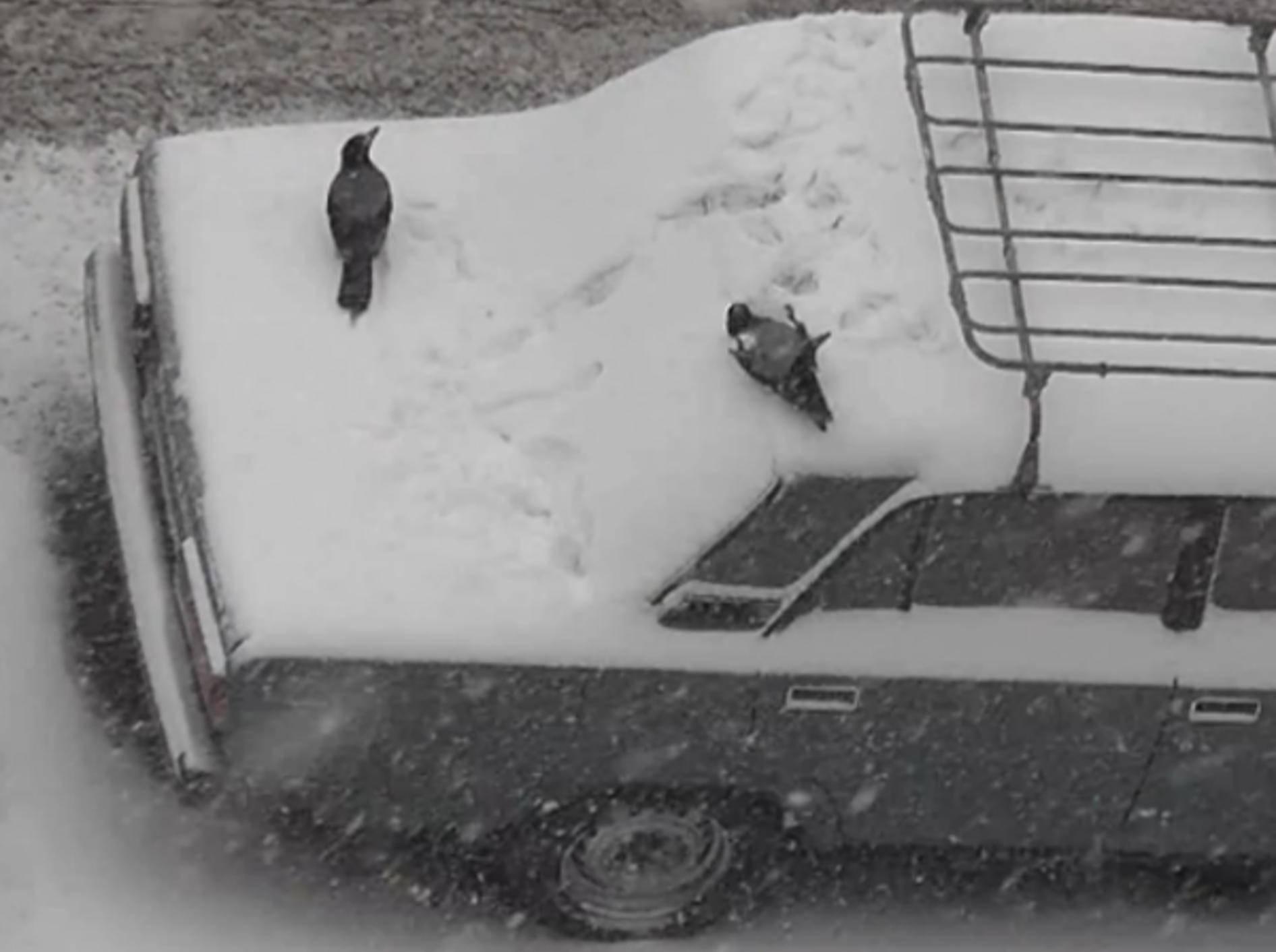Krähen haben Spaß im Schnee und kugeln auf Autos herum – Bild: Youtube &/ Sergazo