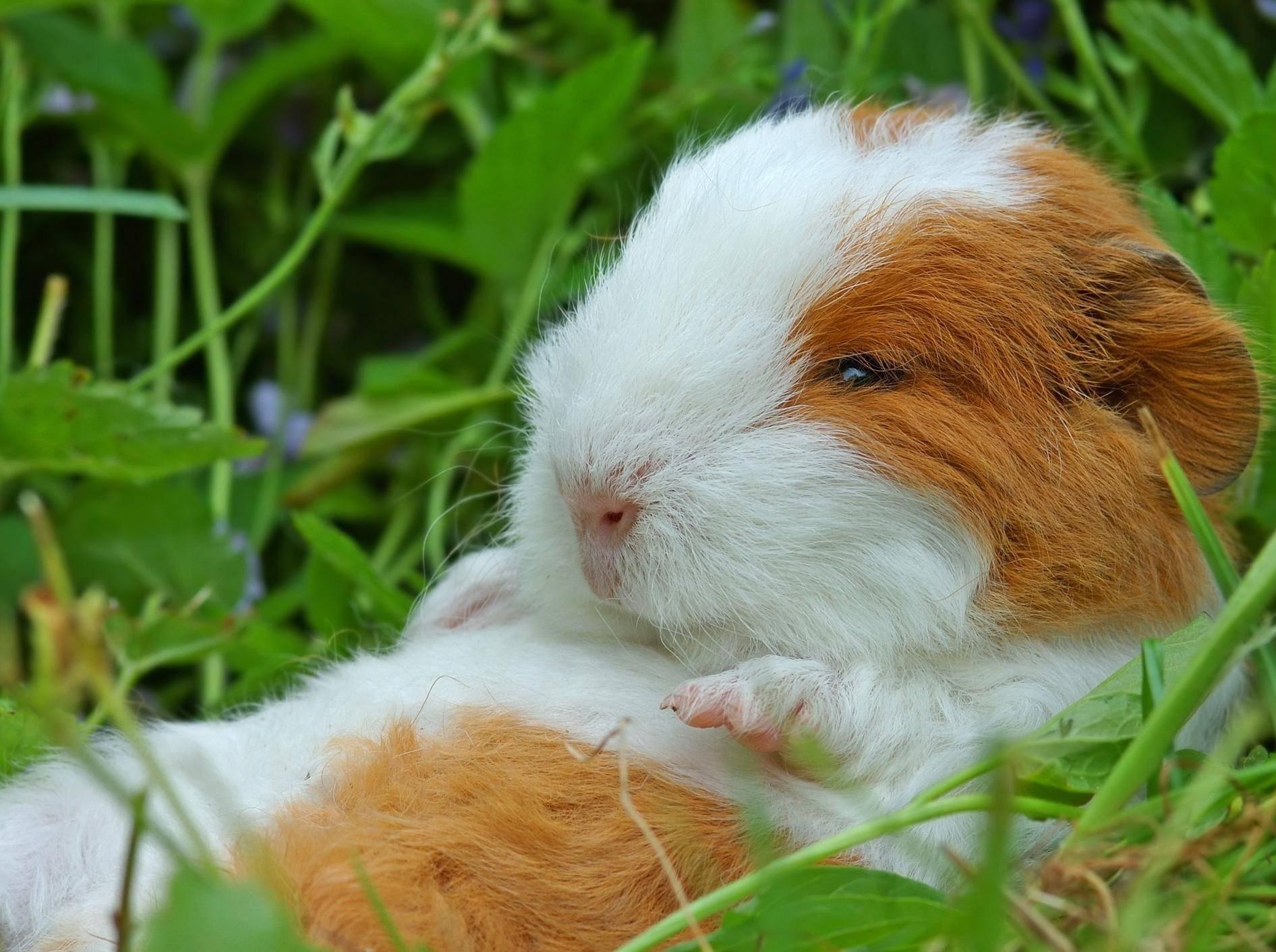 Meerschweinchen: Der knuffige Nager ist ein beliebtes Kinder-Haustier — Bild: Shutterstock / Ralph Loesche