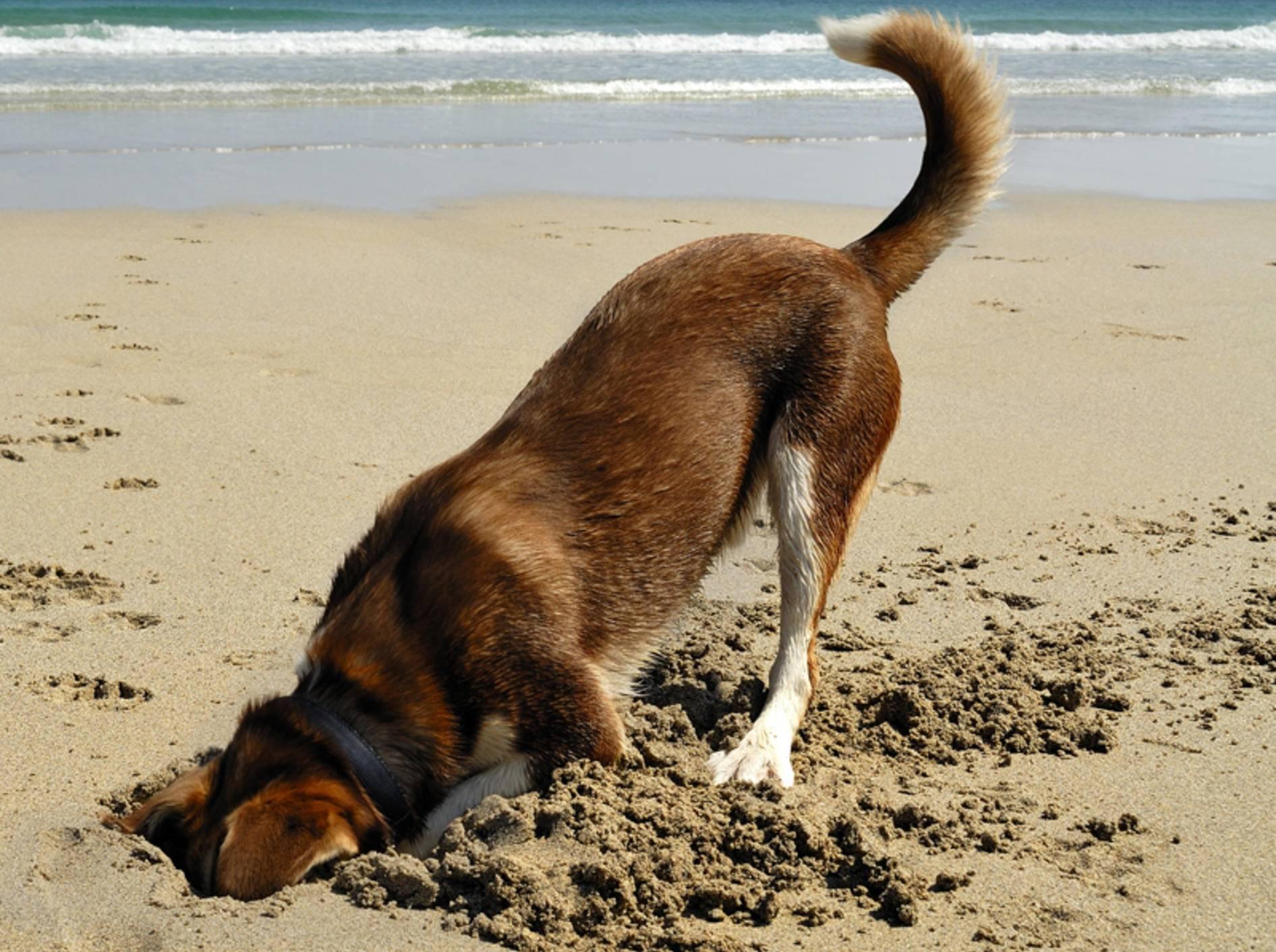 Mischling-Hund-graben-Strand-Meer