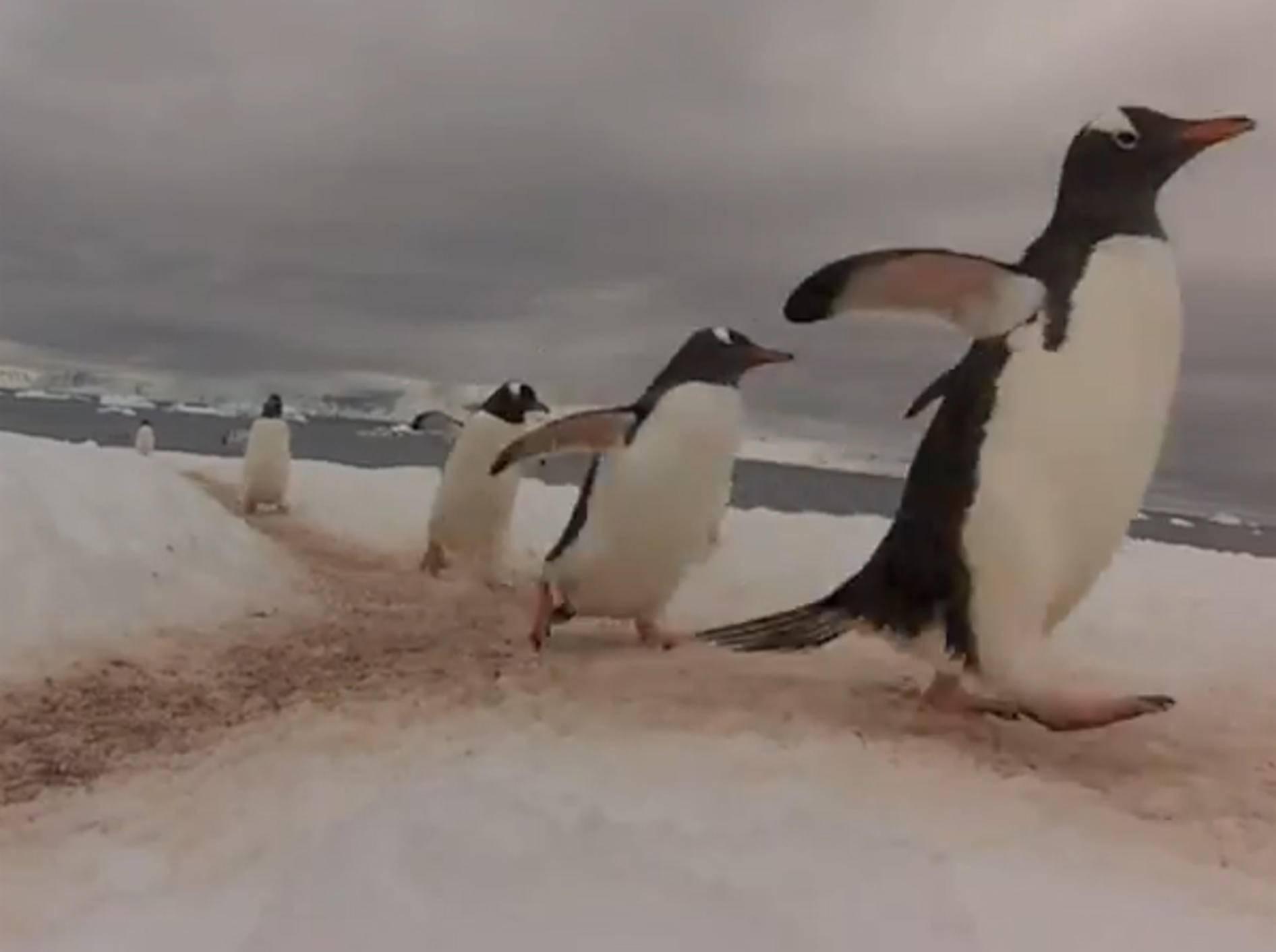 Pinguin-Highway in der Arktis: Wo die Wege sich kreuzen
