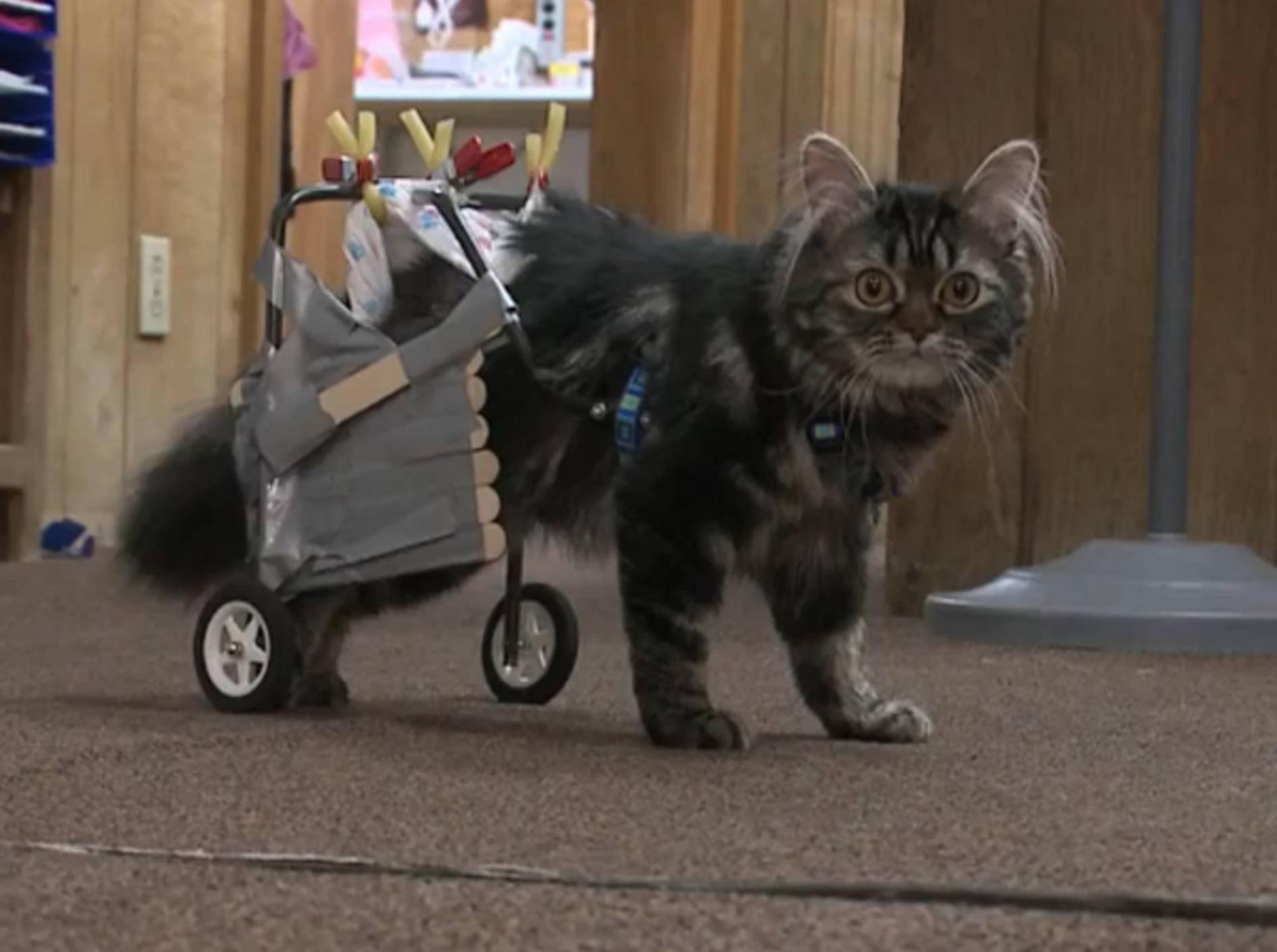 Katzenrollstuhl rettet Flipper vor dem Tod