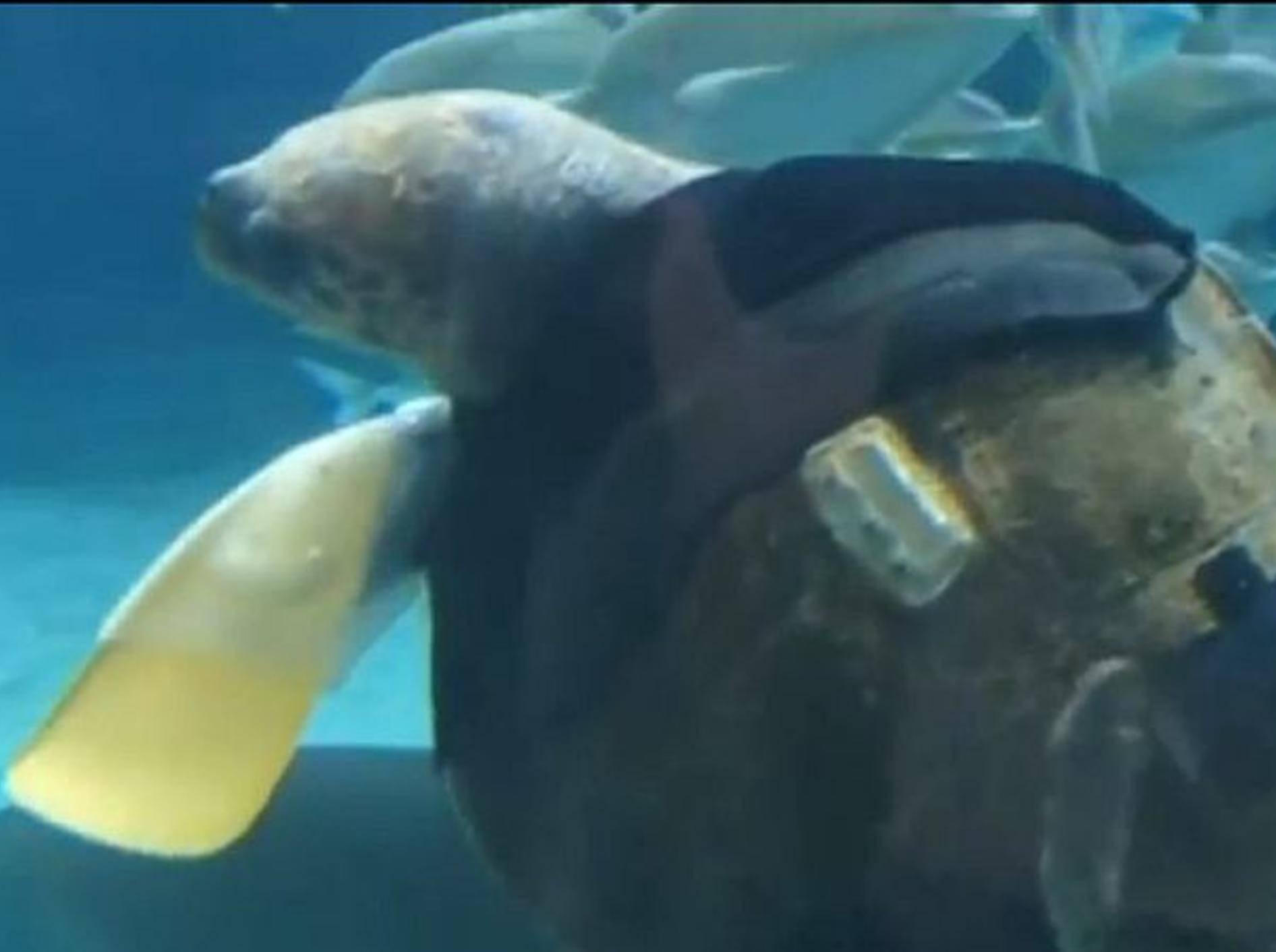 Schildkröte-mit-künstlichen-Schwimmflossen