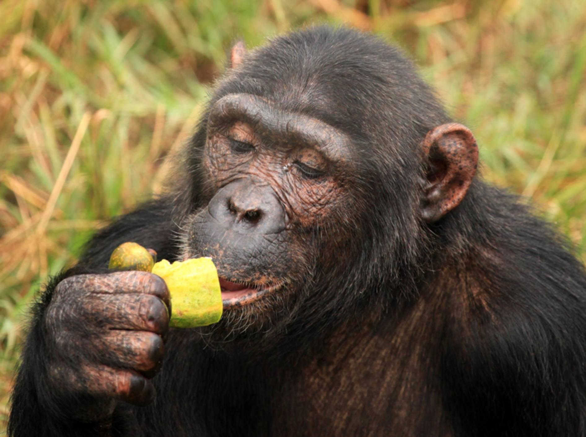 Schimpanse verdrückt ein Früchtchen. Vergorene Exemplare enthalten Ethanol