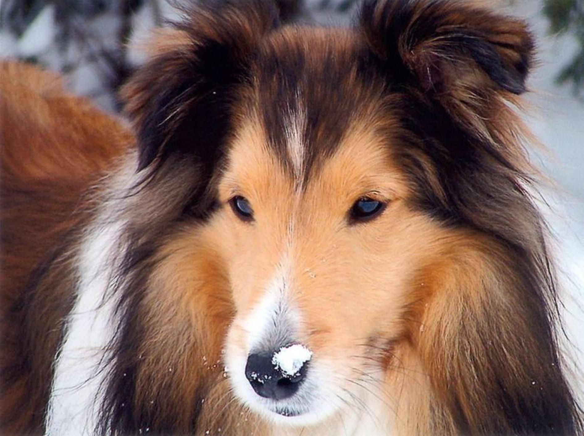 Shetland Sheepdog: Extrem schlauer Hirtenhund, der auch als Rettungshund und Therapiehund eingesetzt wird