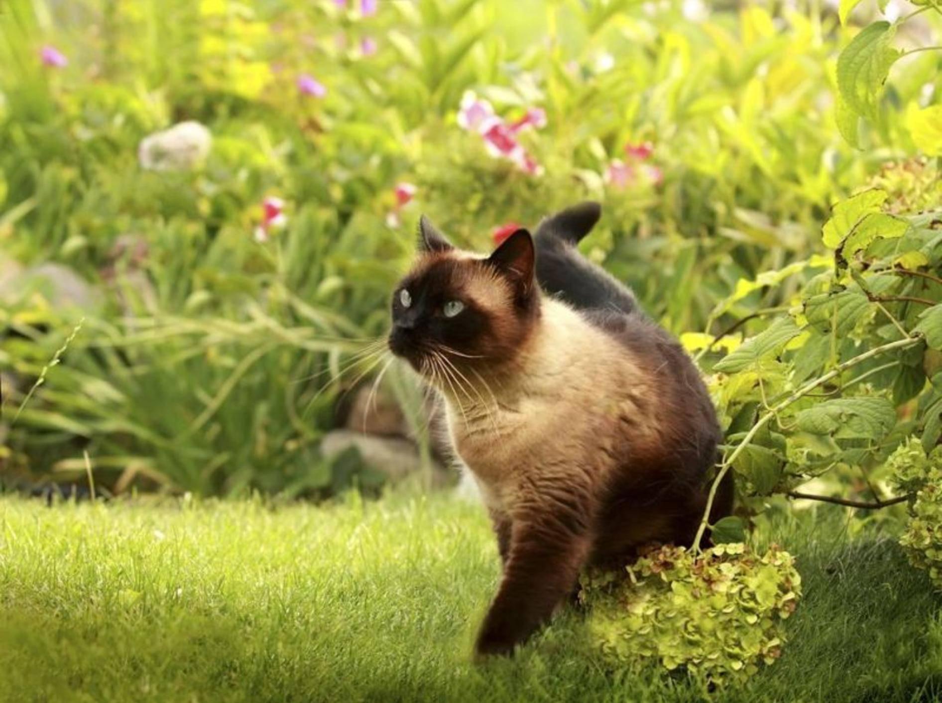 Siamkatze: Elegant und wunderschön