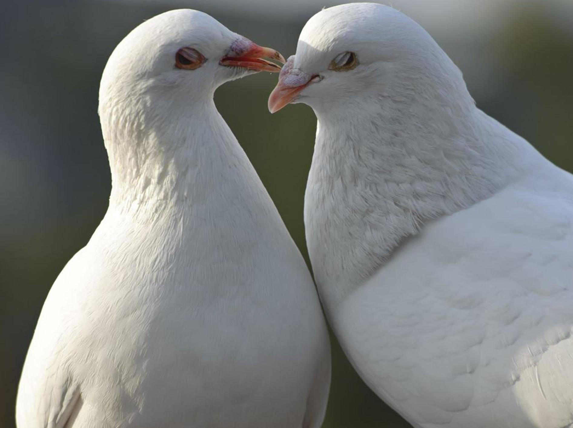 Tauben-Weiss-Tierliebe