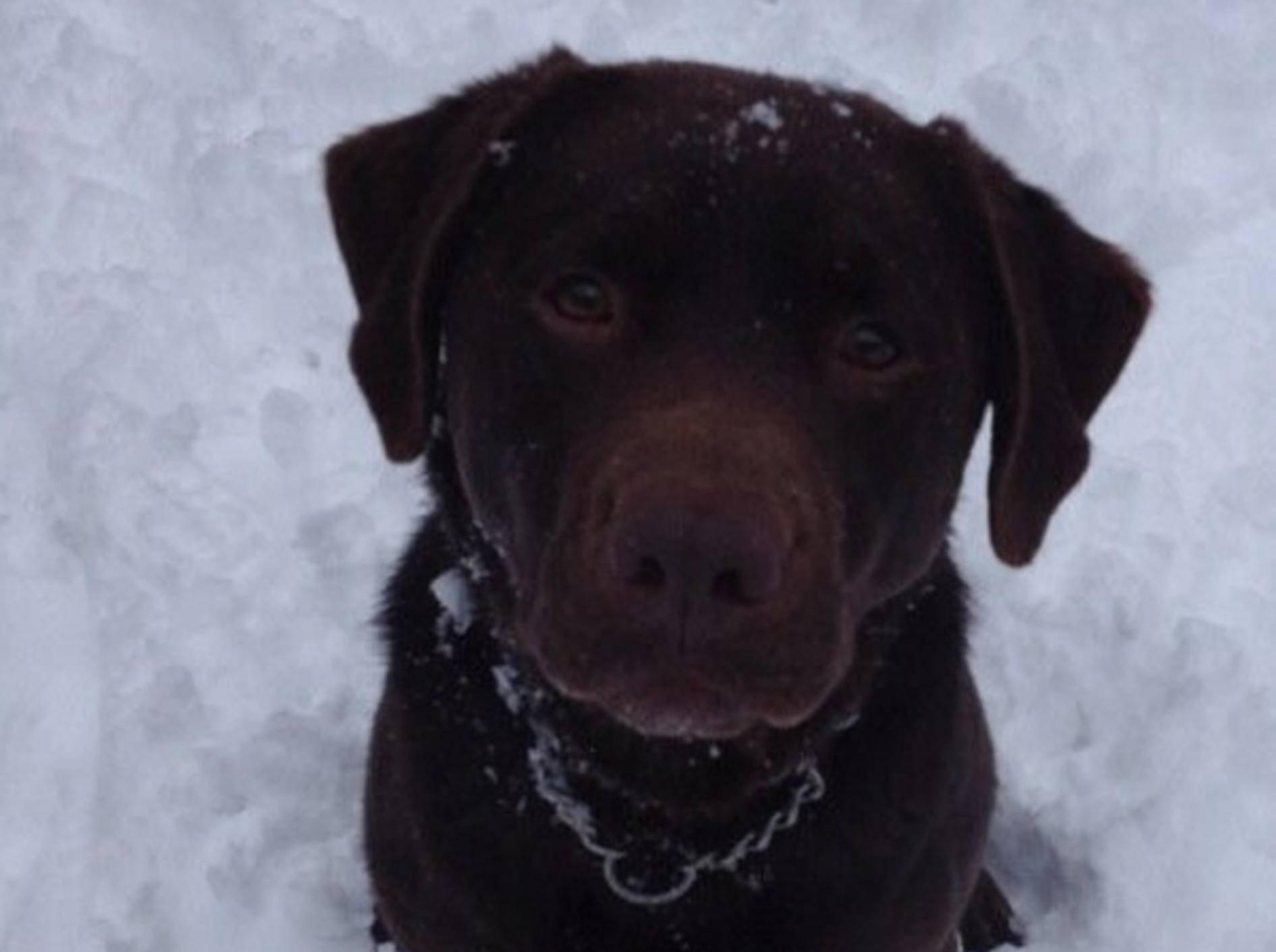 labrador-retriever-hund-emma-bunton--spice-girl