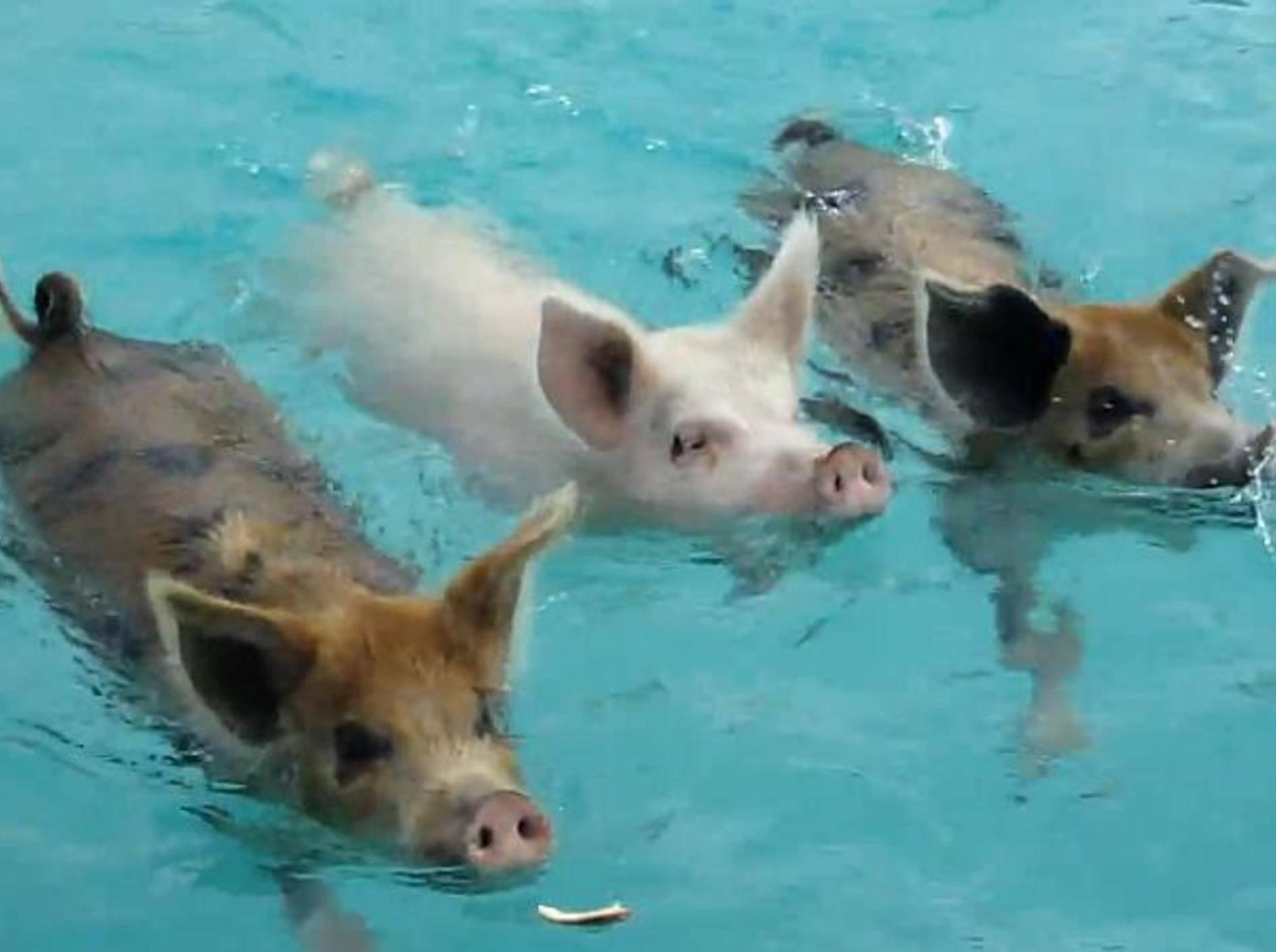 schwimmende-schweine-youtube-Stefanizzi-Andrea