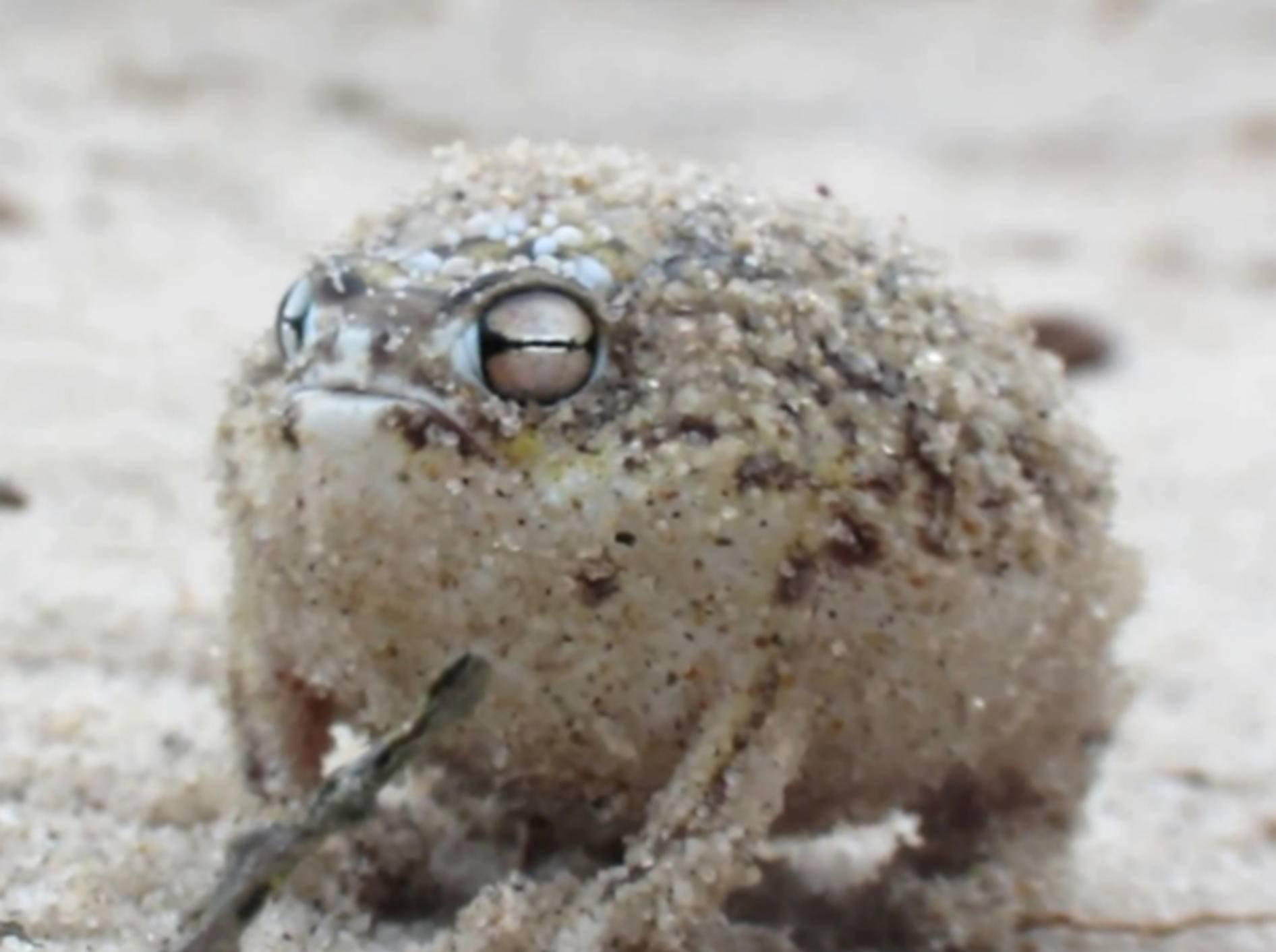 """Süßer Frosch mit """"beängstigendem"""" Kampfschrei"""