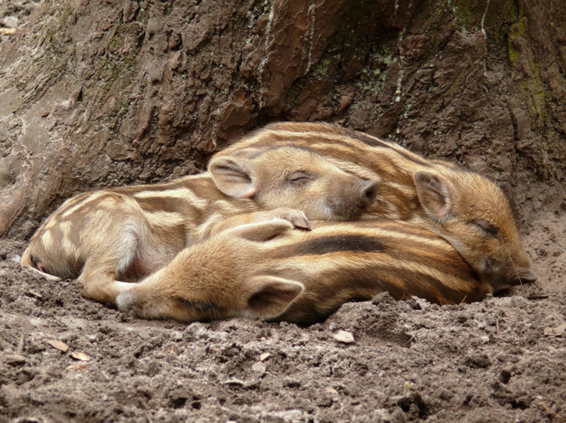 Schweinehaufen: Wildschweinferkel beim Schlafen