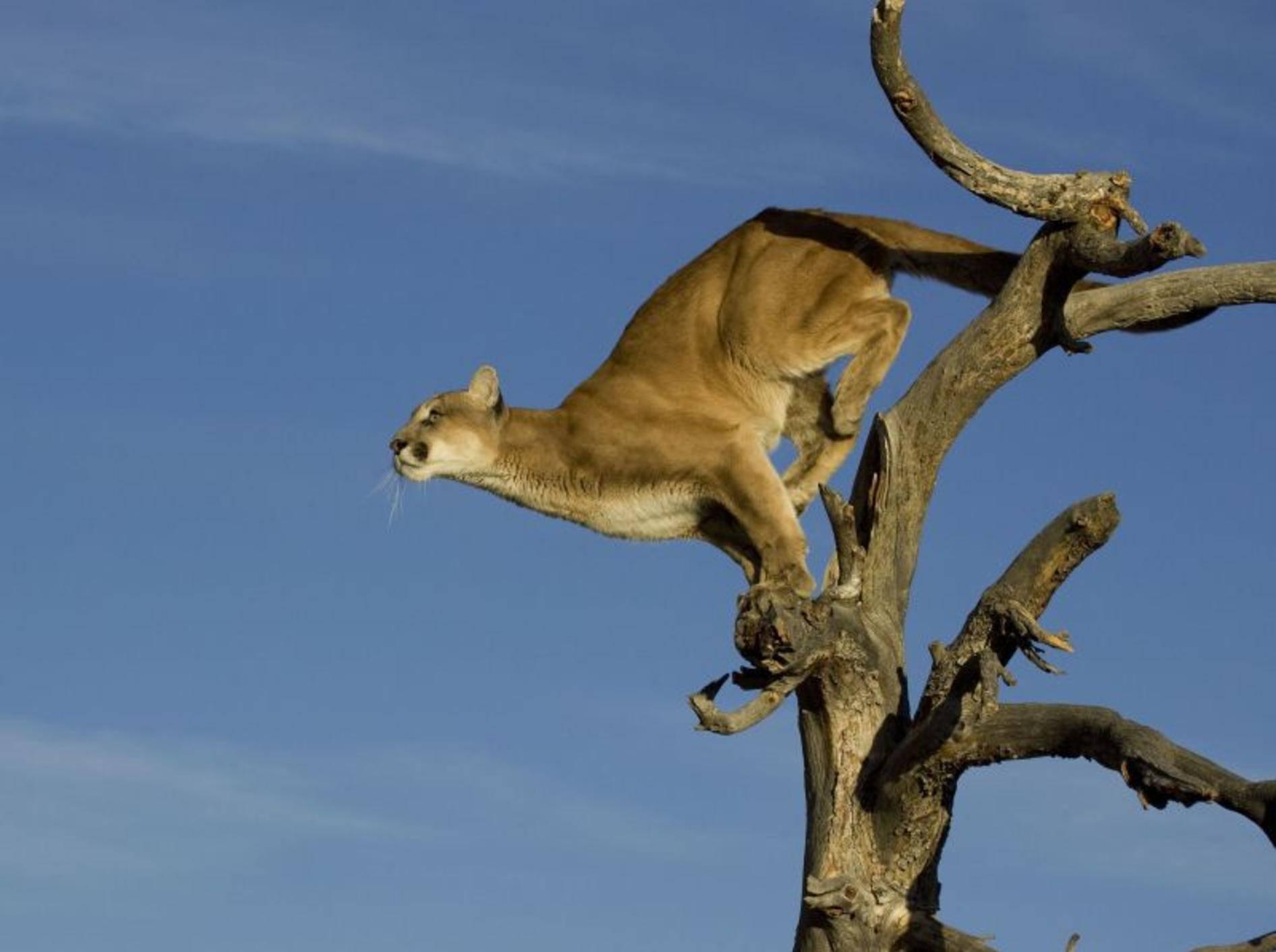 Puma: Springt bis zu 5,50 Meter hoch — Bild: Shutterstock / creativex