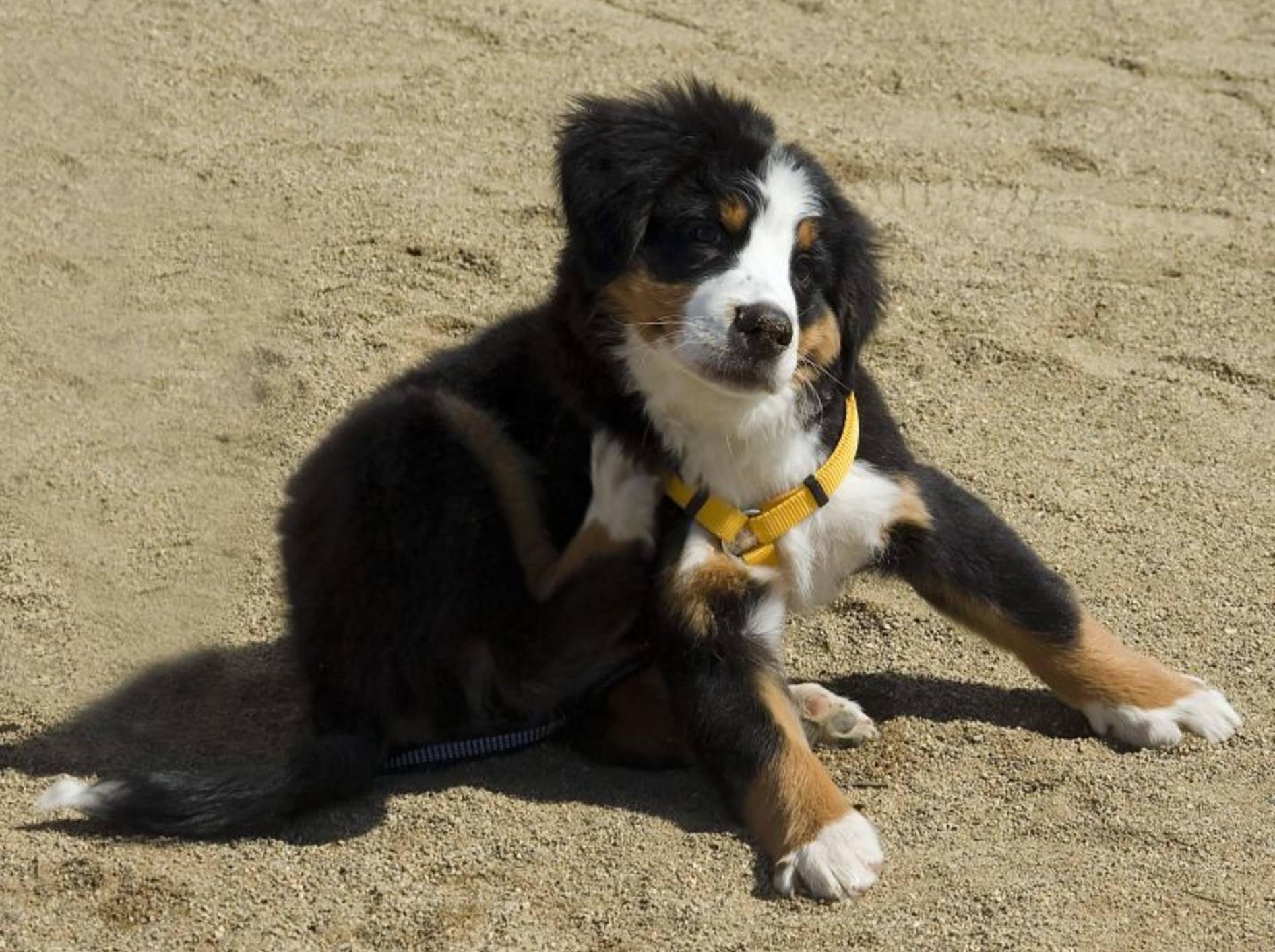 Flöhe beim Hund: So beugen Sie vor — Bild: Shutterstock / Ilya D. Gridnev