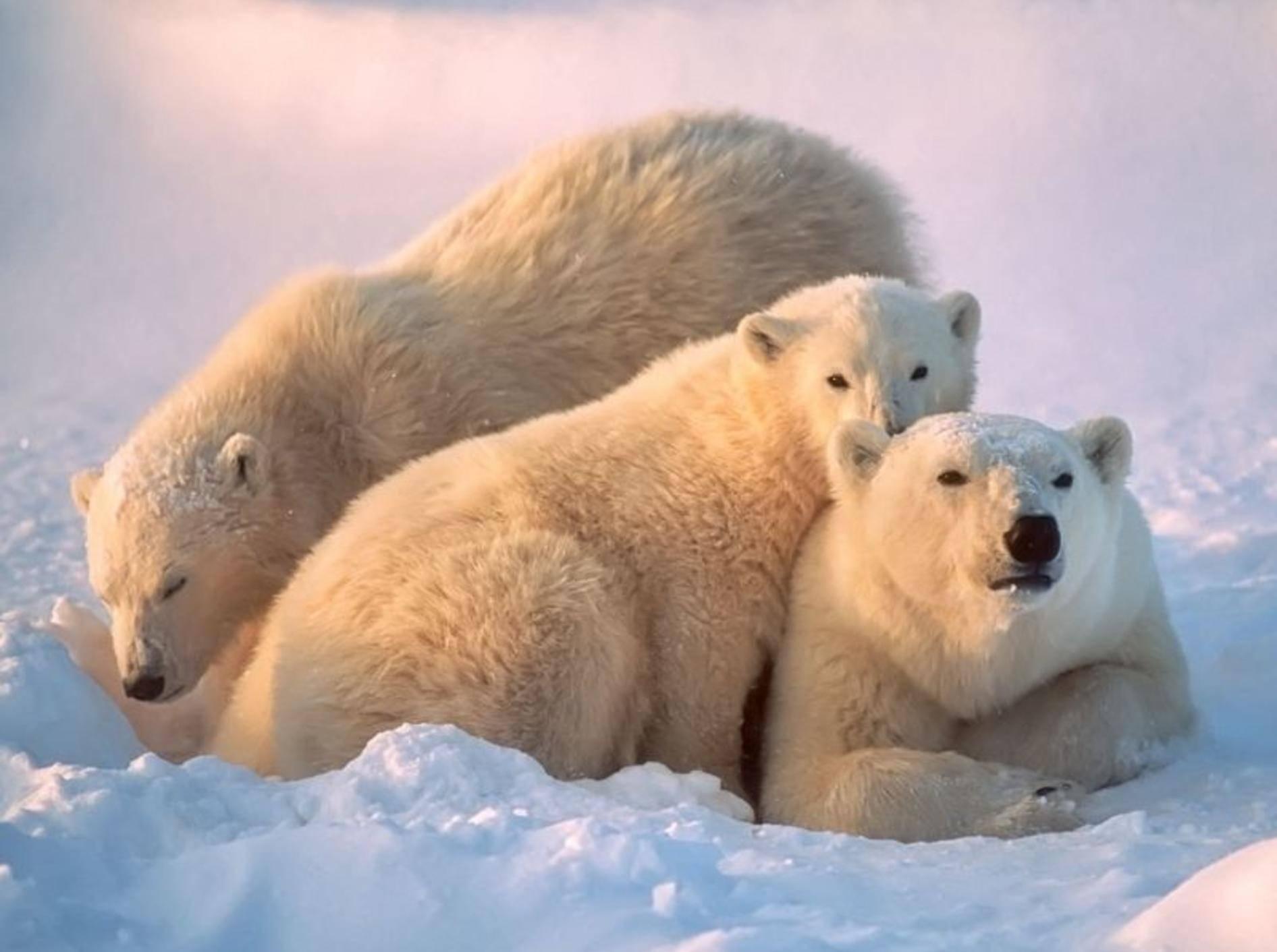 Eisbärfamilie: Zusammen den Sonnenuntergang genießen — Bild: Shutterstock / outdoorsman