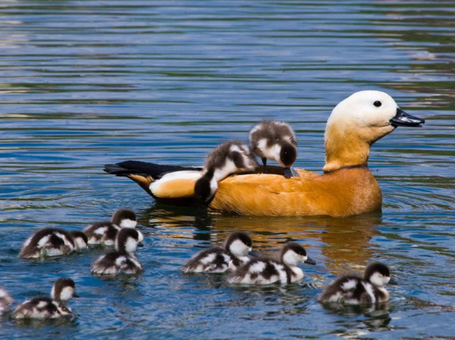 Entenmutter mit ihren Küken: Bloß keinen verlieren! — Bild: Shutterstock / Vishnevskiy Vasily