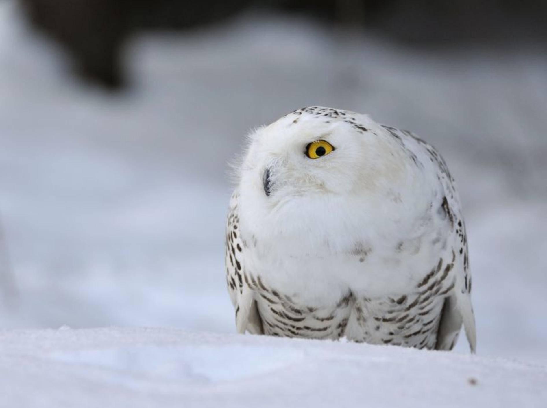 Nur die Augen leuchten: Schneeeule im tiefsten Winter — Bild: Shutterstock / Stanislav Duben
