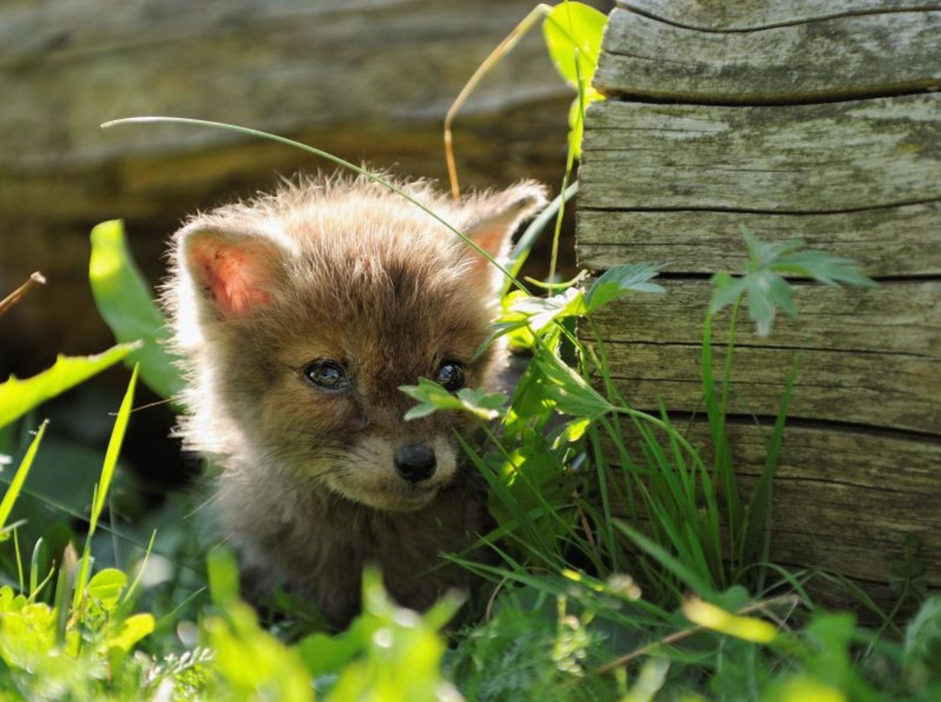 Ganz kleiner Rotfuchs bei einem seiner ersten Spaziergänge — Bild: Shutterstock / AnetaPics