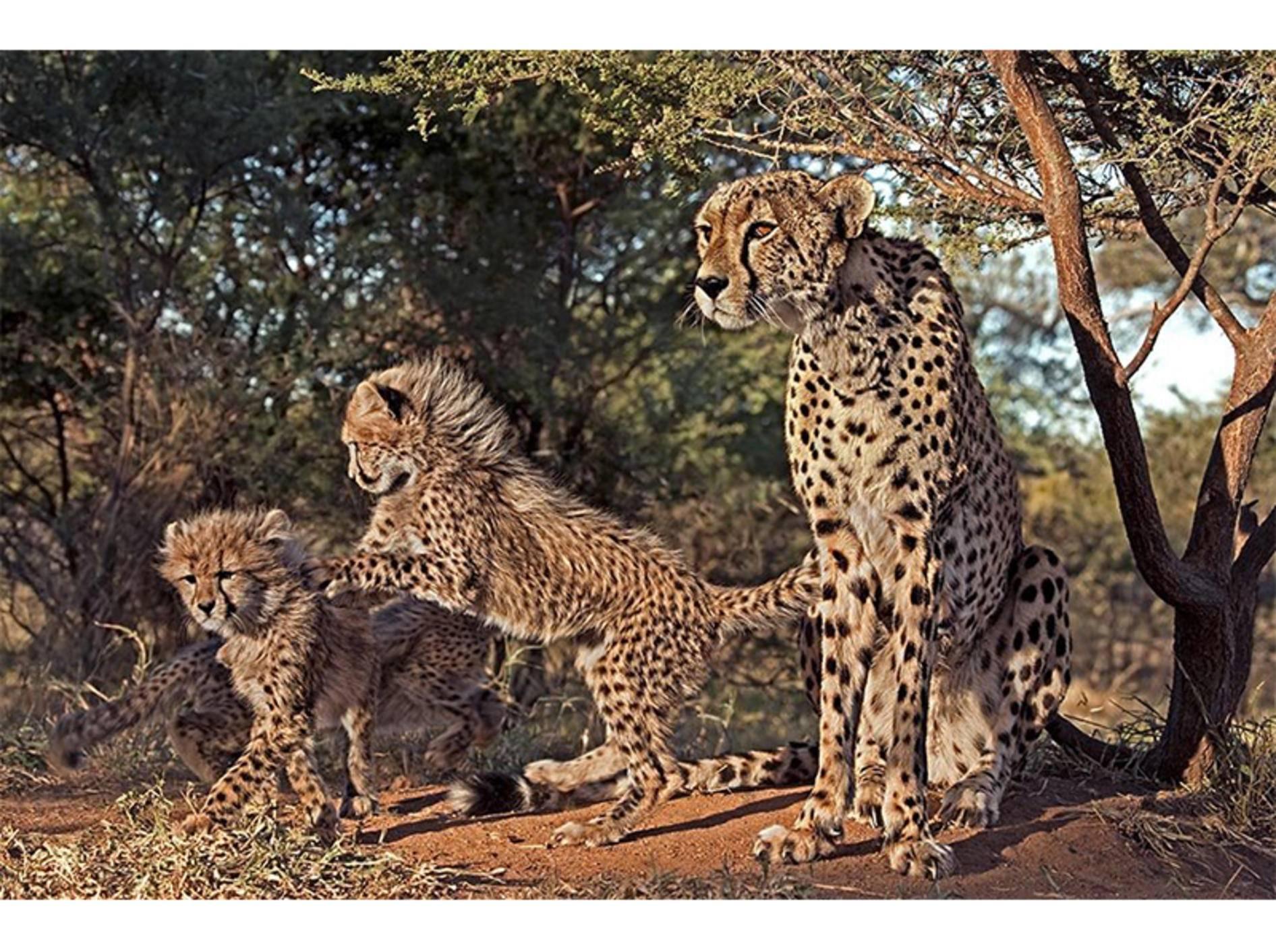 Geparden-Familie-Savanna-Babys-Benny-Rebel