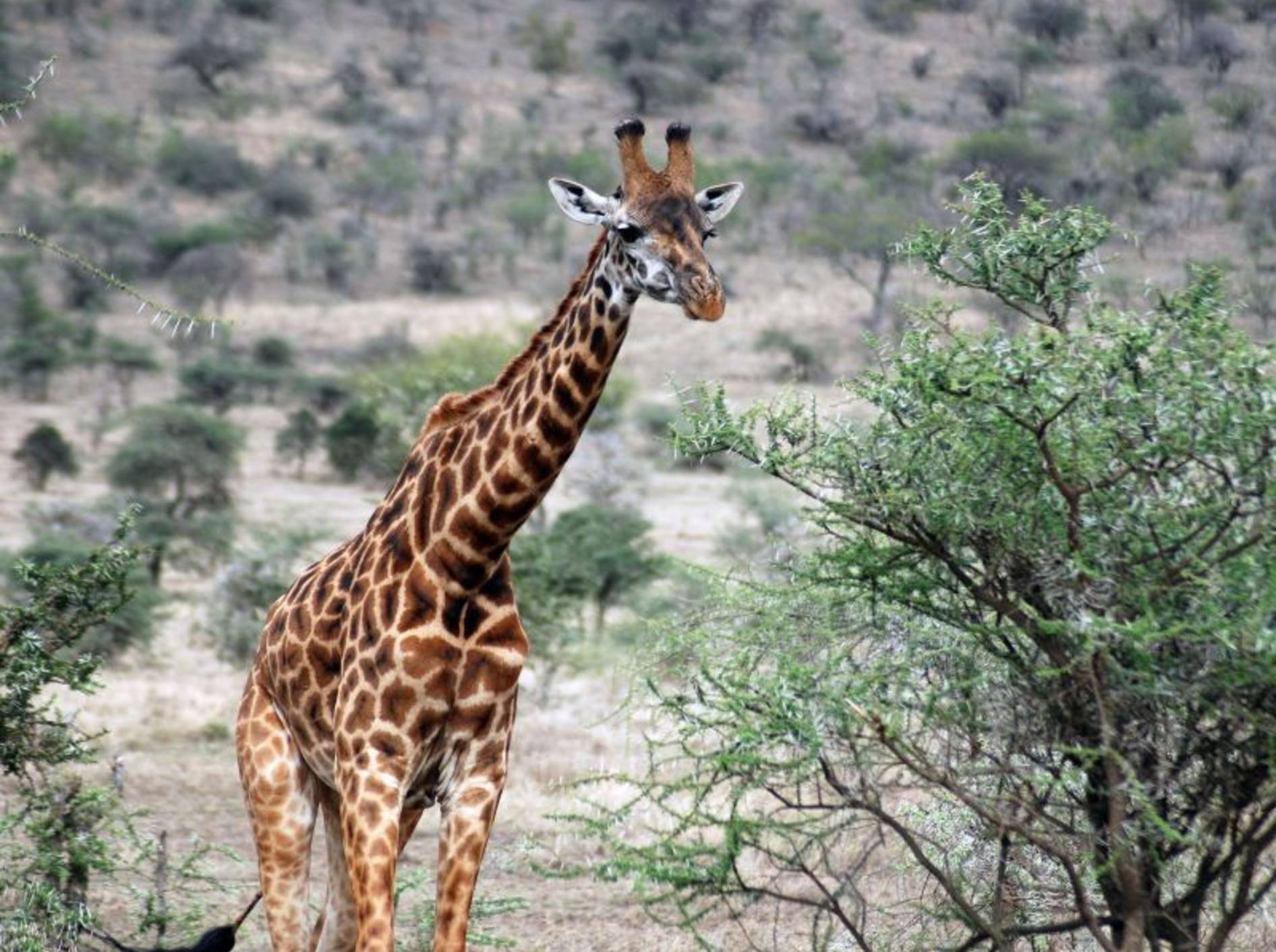 Giraffe: 1,4 Tonnen schwer und bis zu vier Meter groß — Bild: Shutterstock / meunierd
