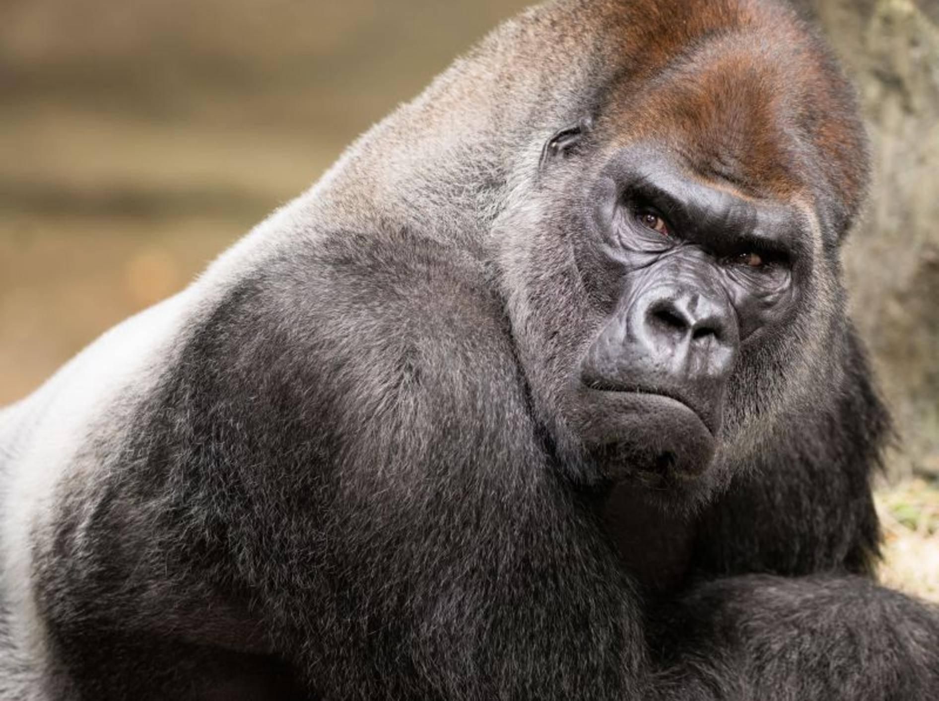 Gorilla. Der muskulöse Primat kann über 2.000 Kilogramm stemmen – Bild: Shutterstock / Nagel Photography