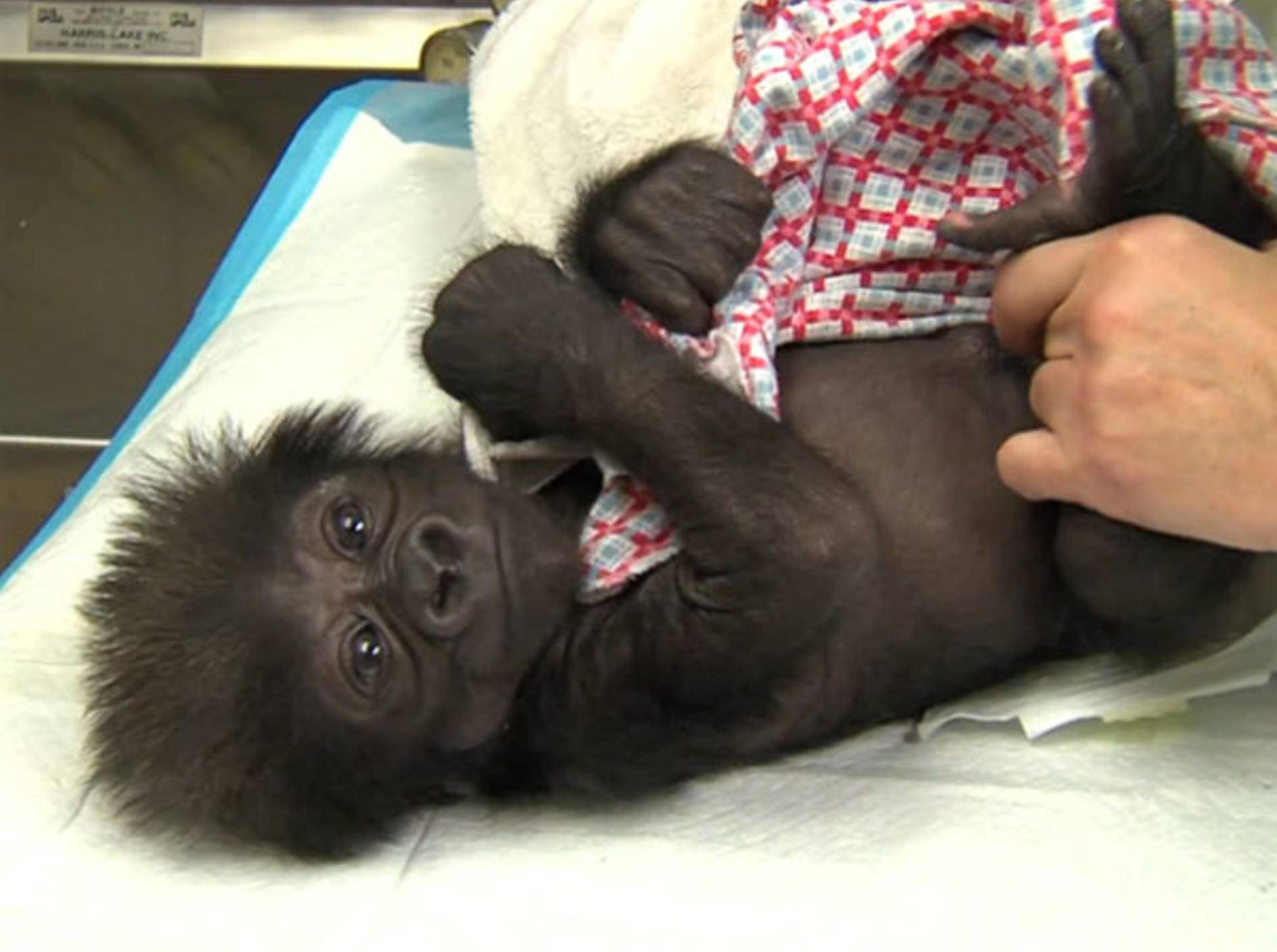 Gorilla-Baby-Affe-Zoo-Cincinnati