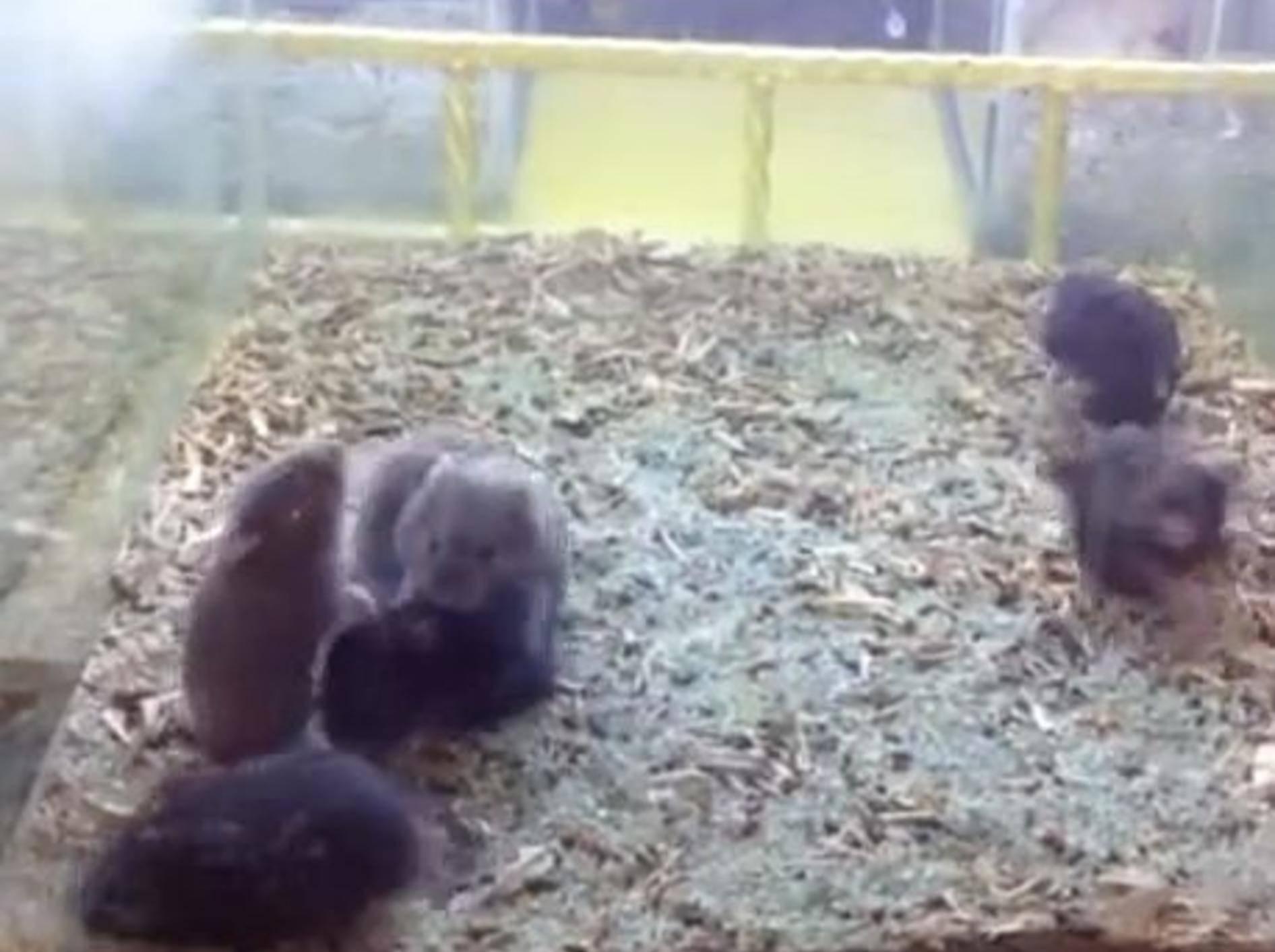 Hamster Harlem Shake: Kein Spaß für Tierliebhaber -Bild: Youtube / Ronggowisnu Prihadi