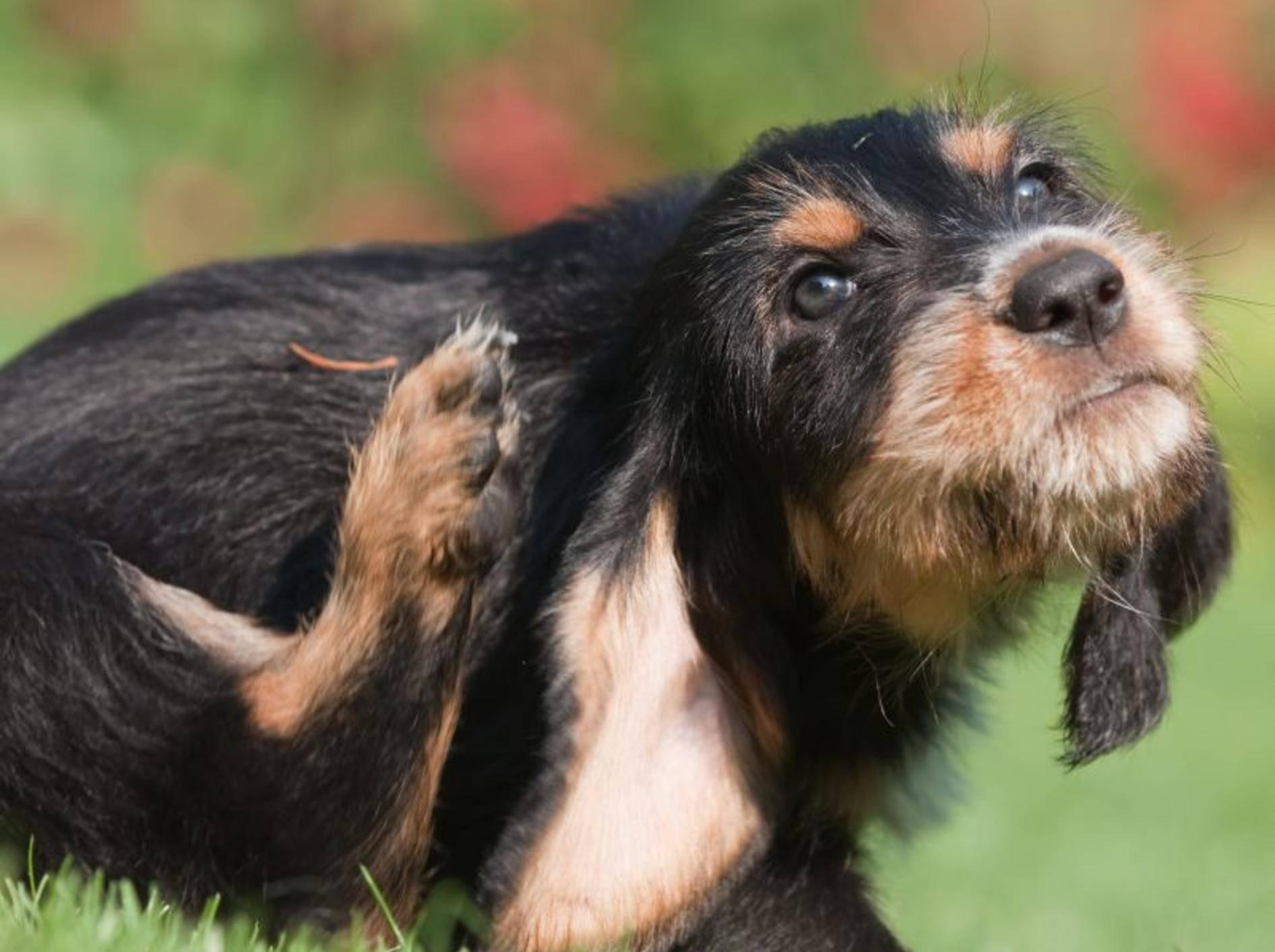 Flöhe beim Hund: Symptome des Befalls – Bild: Shutterstock / Christian Mueller