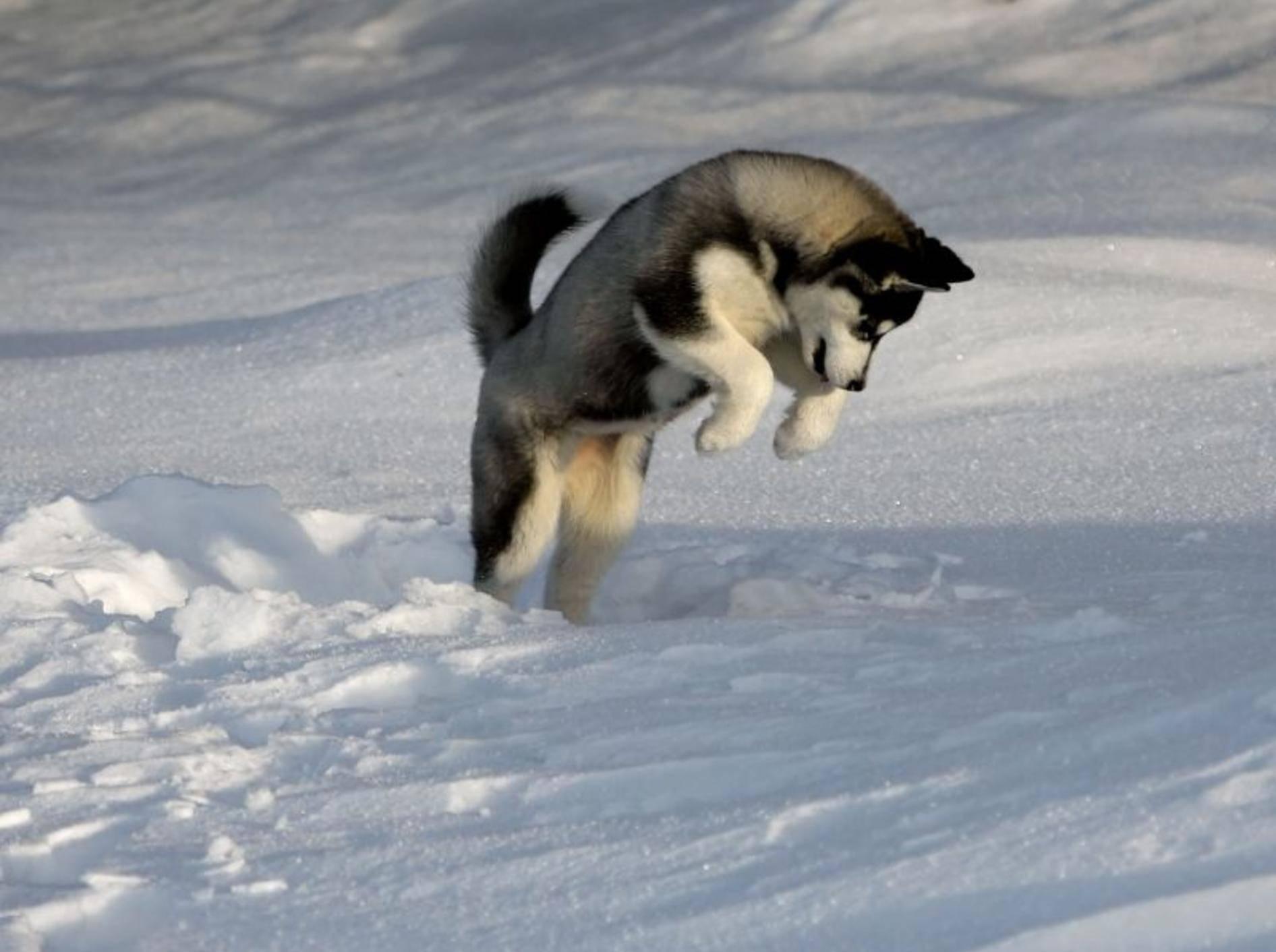 Springen und im Schnee spielen aus Leidenschaft: Der Husky ist eine Sportskanone — Bild: Shutterstock / plastique