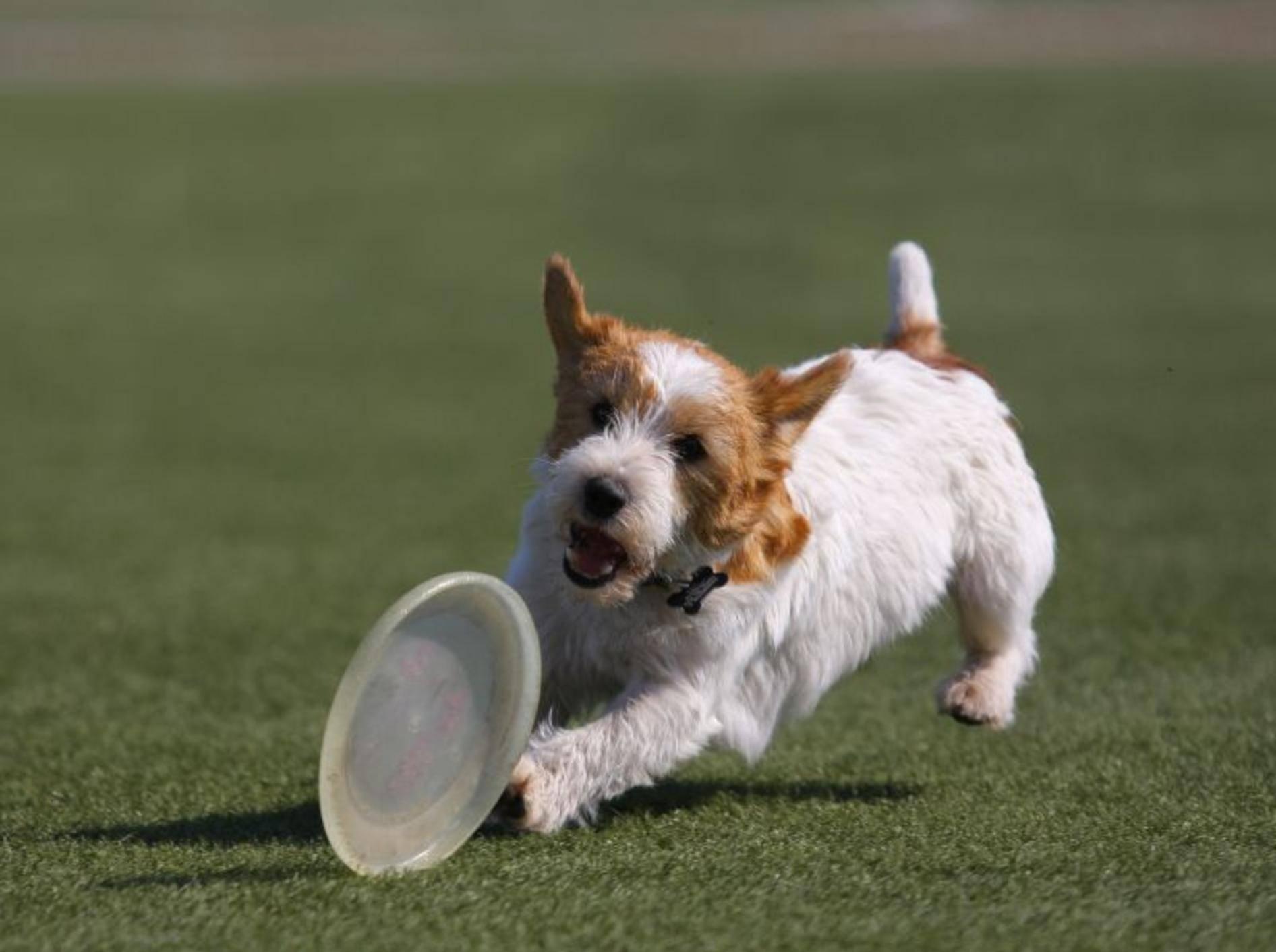Frisbeescheiben apportieren? Für schlaue Hunde wie Jack Russell Terrier ein Leichtes! — Bild: Shutterstock Utekhina Anna