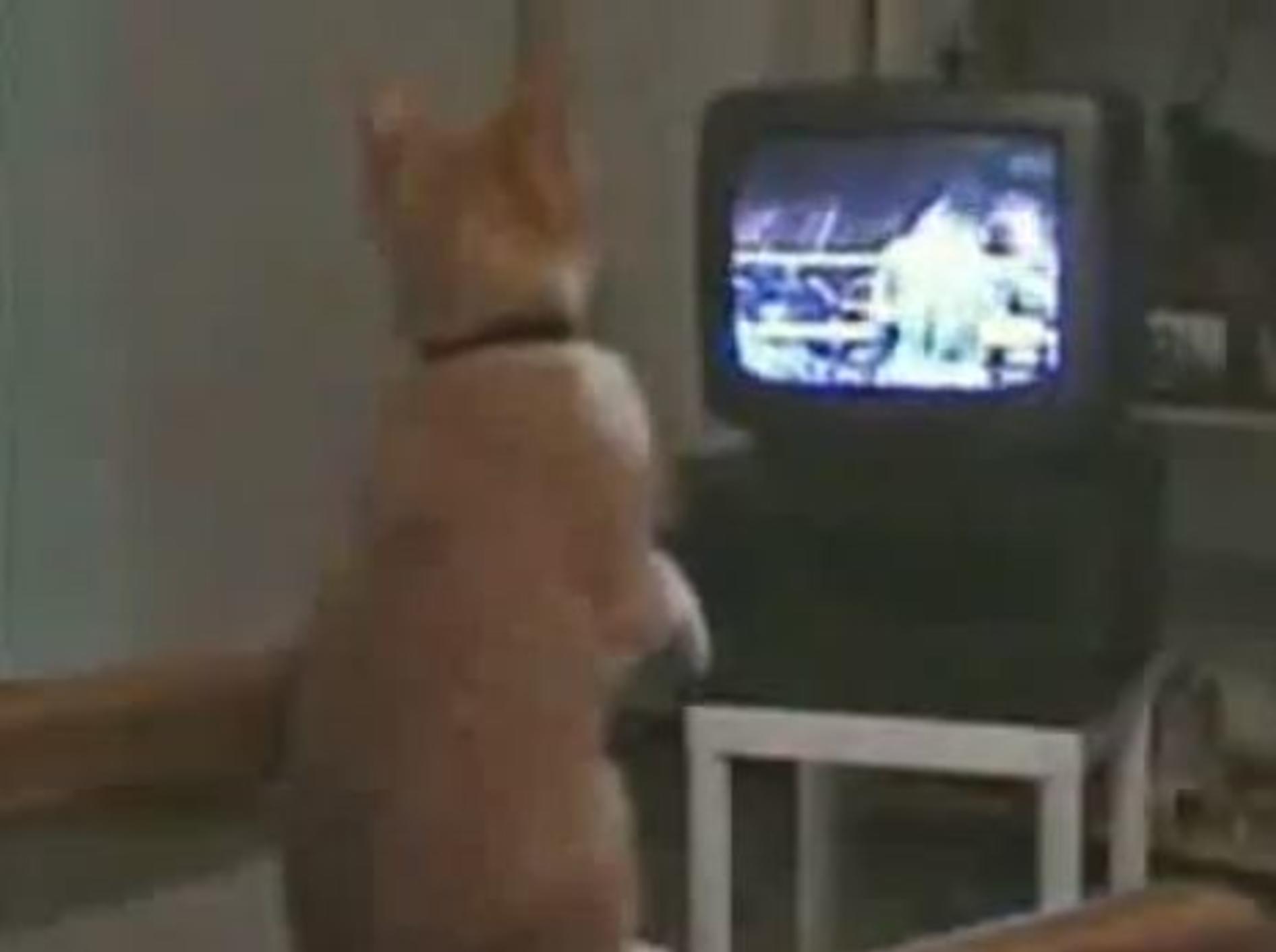 Boxprofi von Morgen: Katze trainiert vor dem Fernseher -Bild: Youtube / Jazvochka